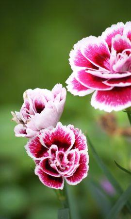 19573 скачать обои Растения, Цветы, Гвоздики - заставки и картинки бесплатно