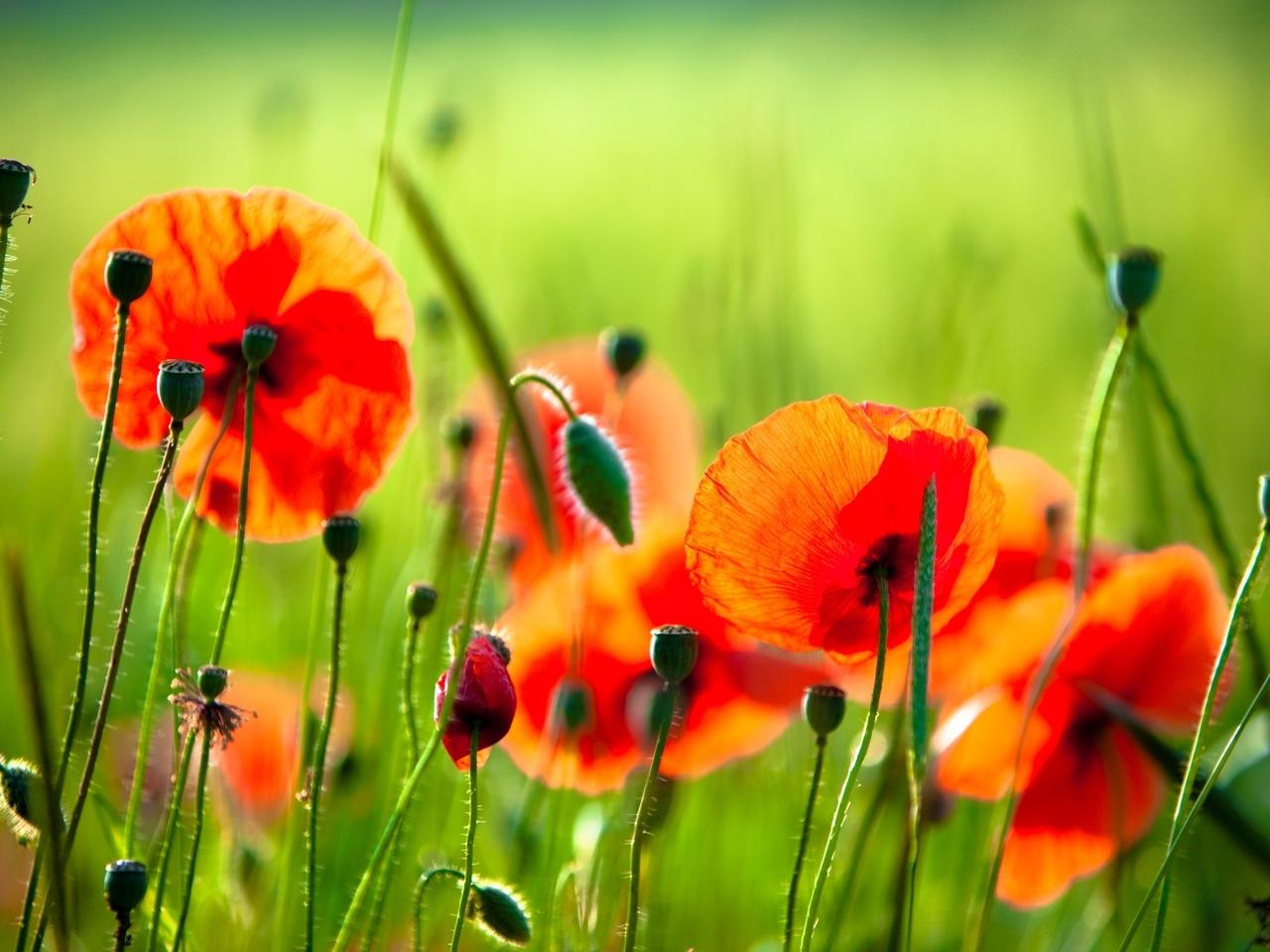 30028 скачать обои Растения, Цветы, Маки - заставки и картинки бесплатно