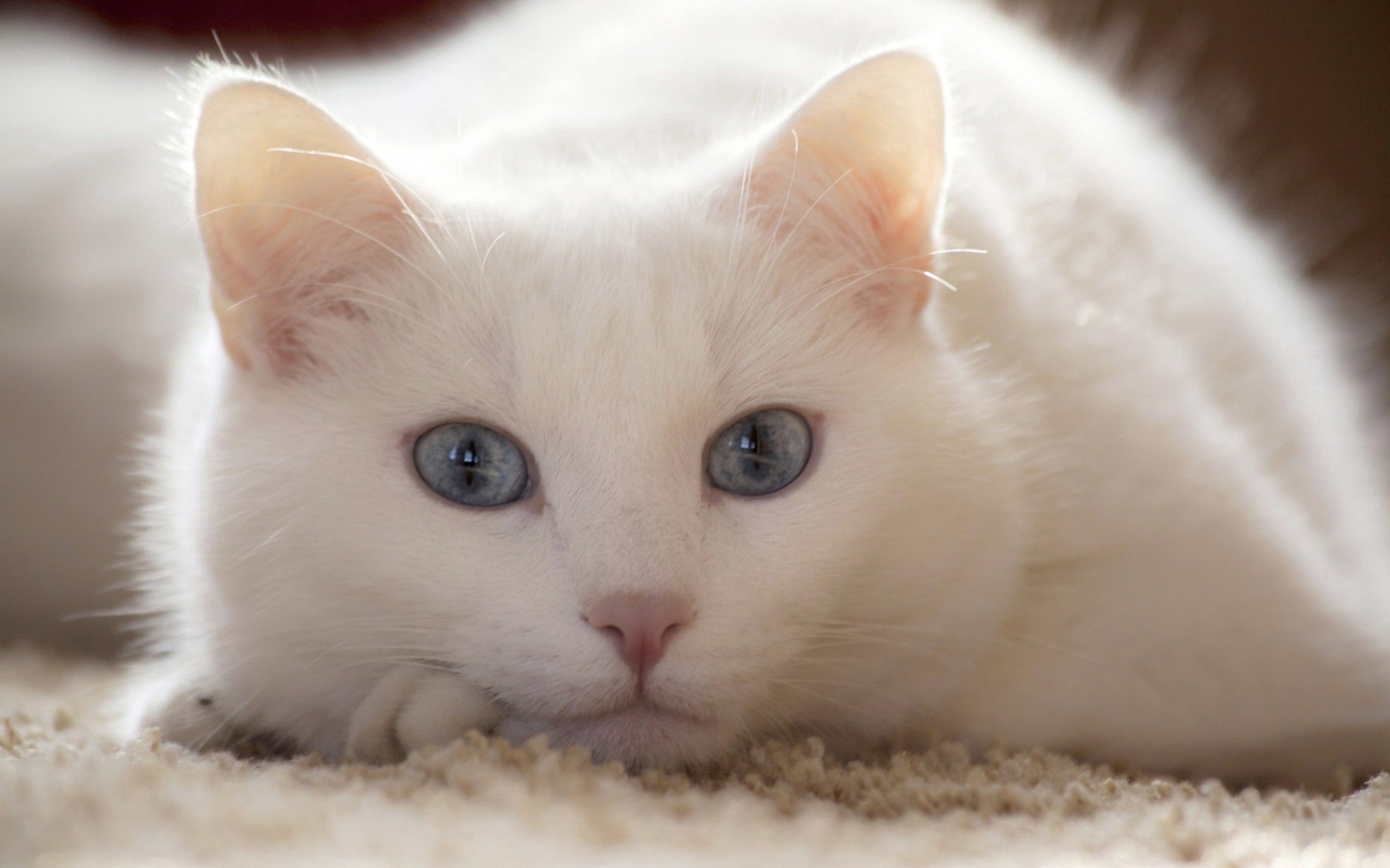 148852 download wallpaper Animals, Cat, To Lie Down, Lie, Light Coloured, Light screensavers and pictures for free