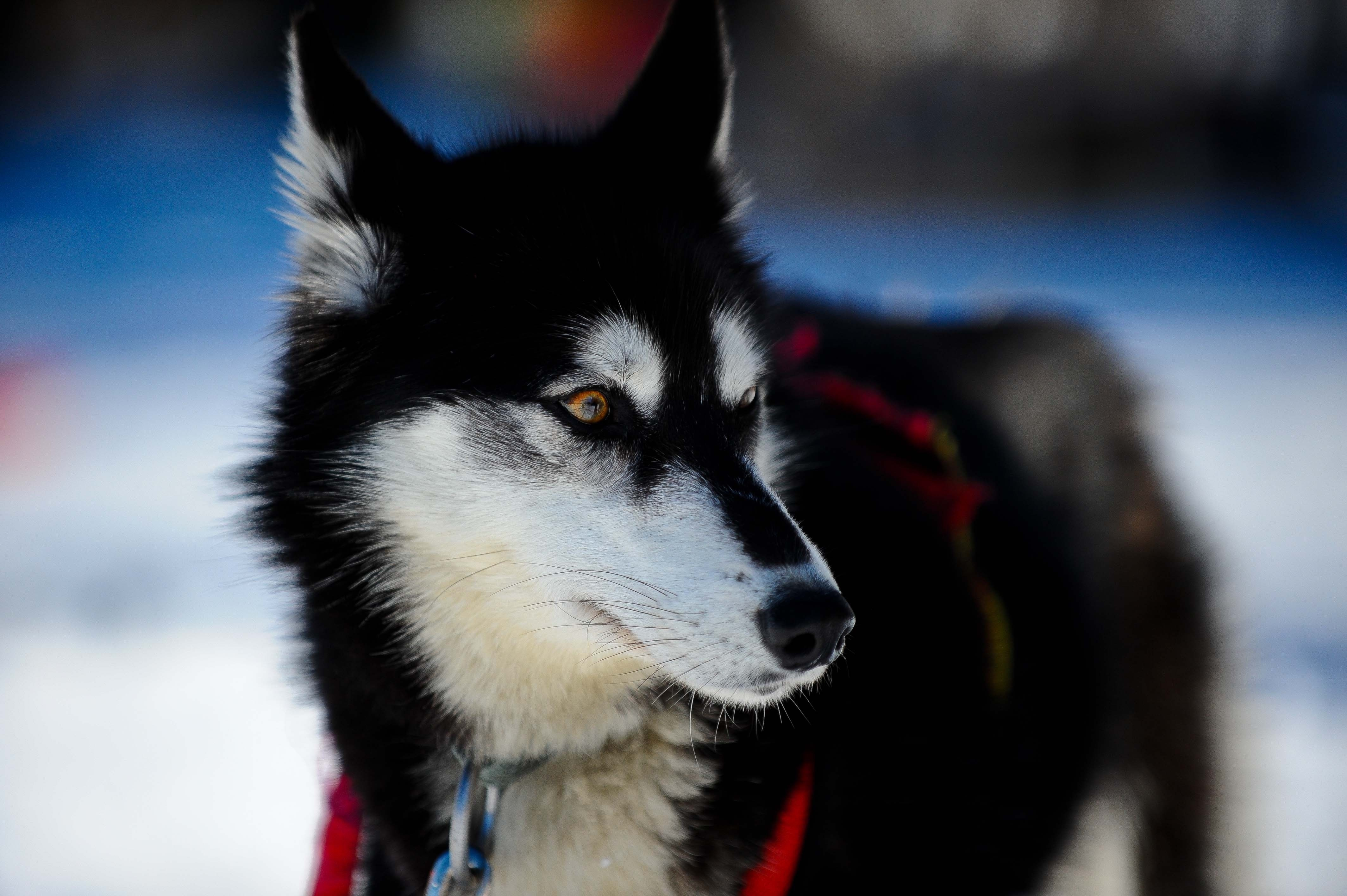 64892 Screensavers and Wallpapers Husky for phone. Download Animals, Dog, Muzzle, Puppy, Husky, Haska pictures for free