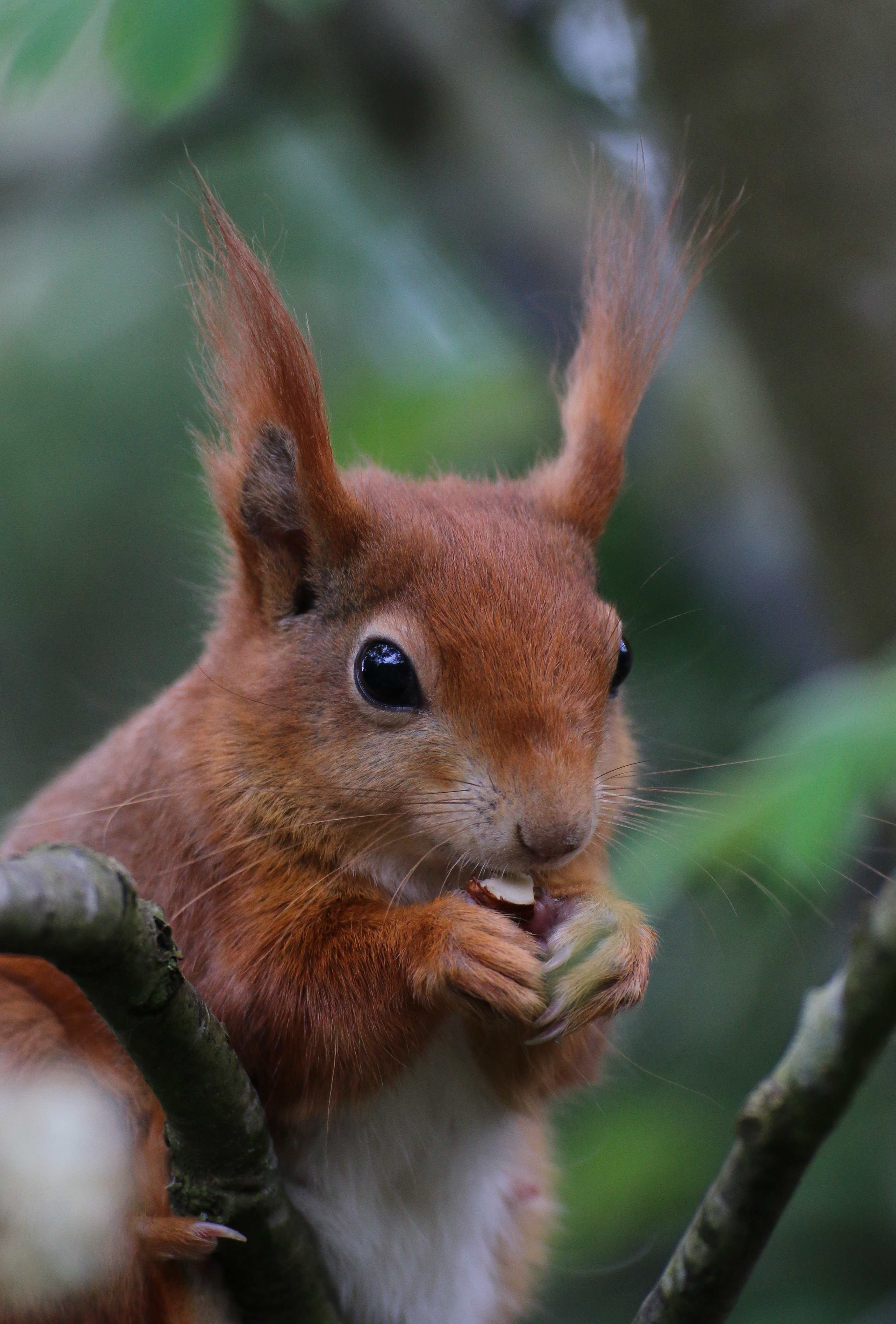 109819 download wallpaper Animals, Squirrel, Rodent, Nice, Sweetheart, Nut screensavers and pictures for free
