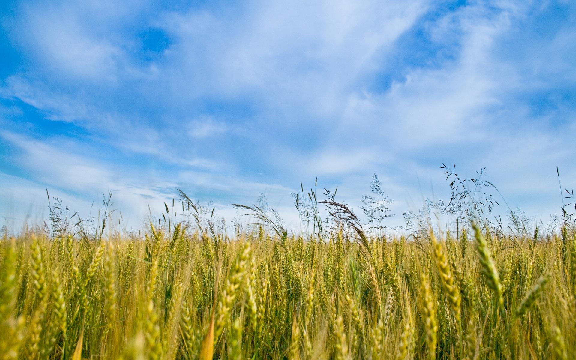 44089 скачать обои Пейзаж, Поля, Пшеница - заставки и картинки бесплатно