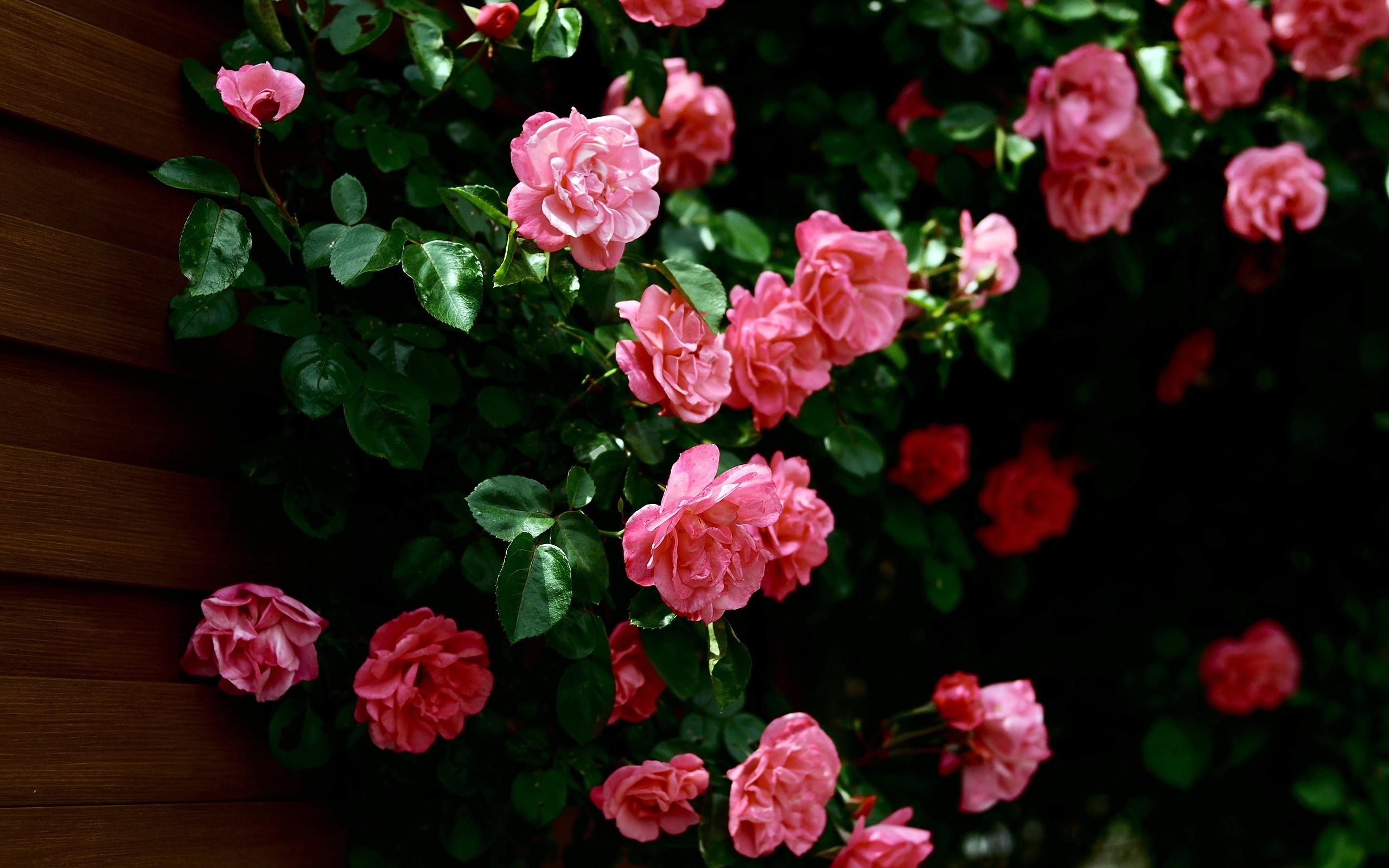 50375 Hintergrundbild herunterladen Pflanzen, Blumen, Roses - Bildschirmschoner und Bilder kostenlos