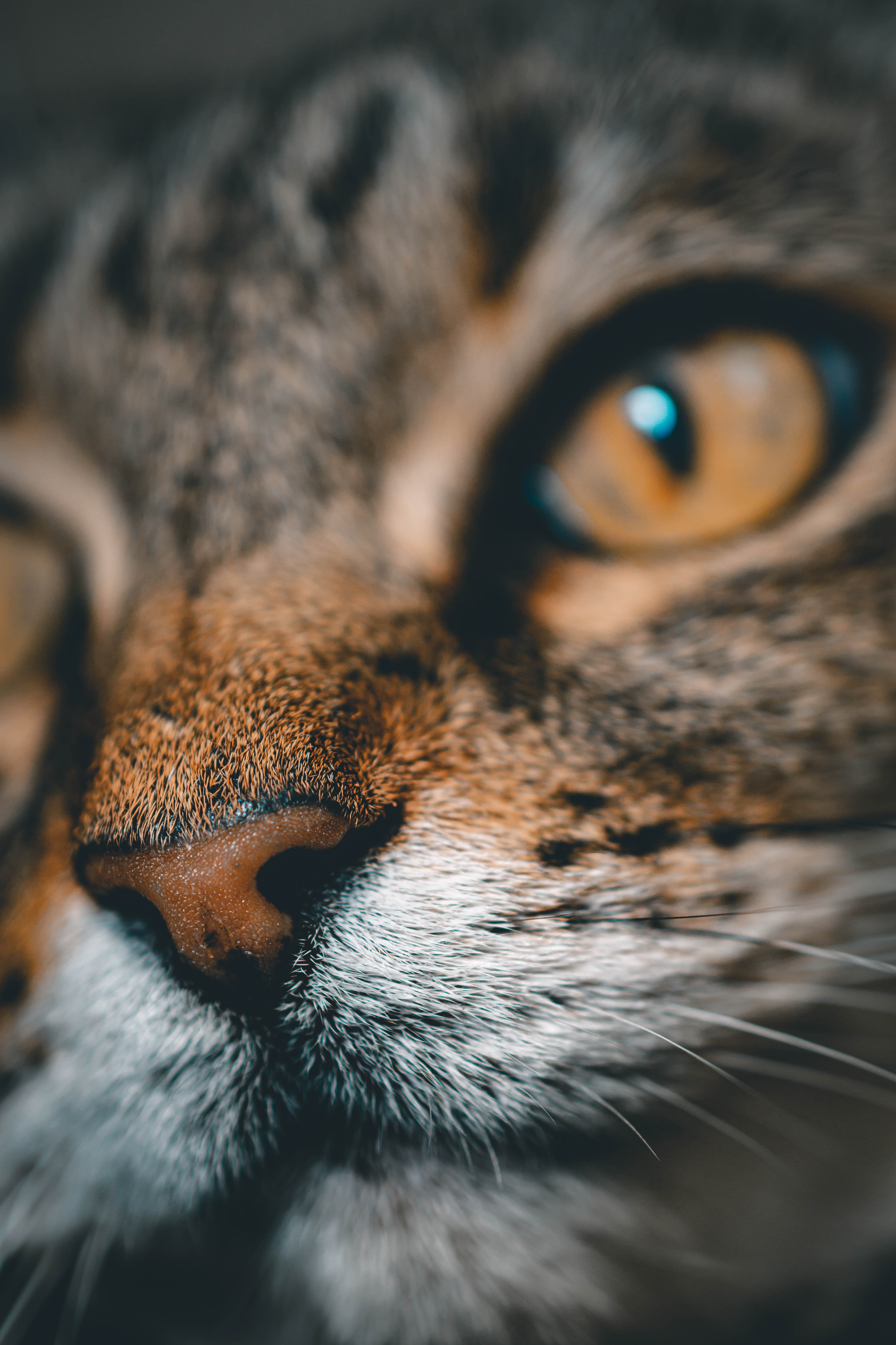 128726 Screensavers and Wallpapers Nose for phone. Download Animals, Cat, Muzzle, Close-Up, Pet, Nose pictures for free