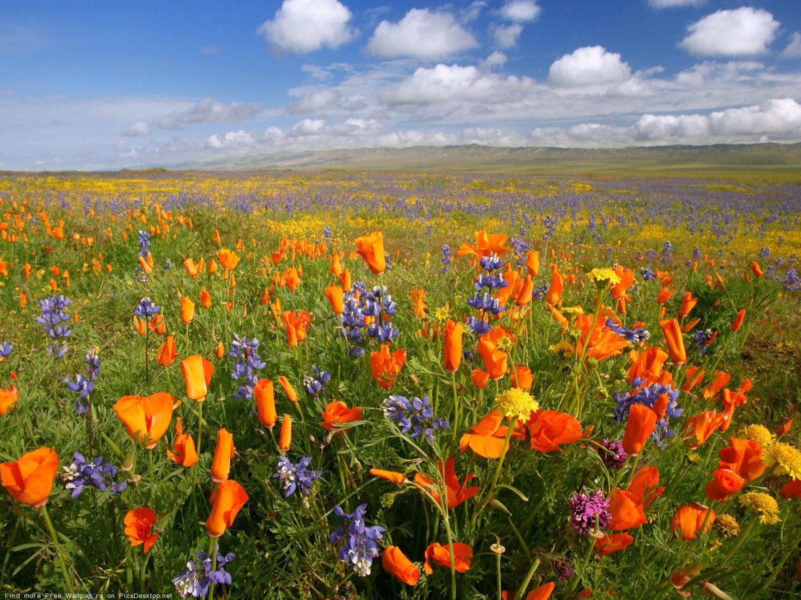 11110 скачать обои Растения, Пейзаж, Цветы, Поля, Маки - заставки и картинки бесплатно