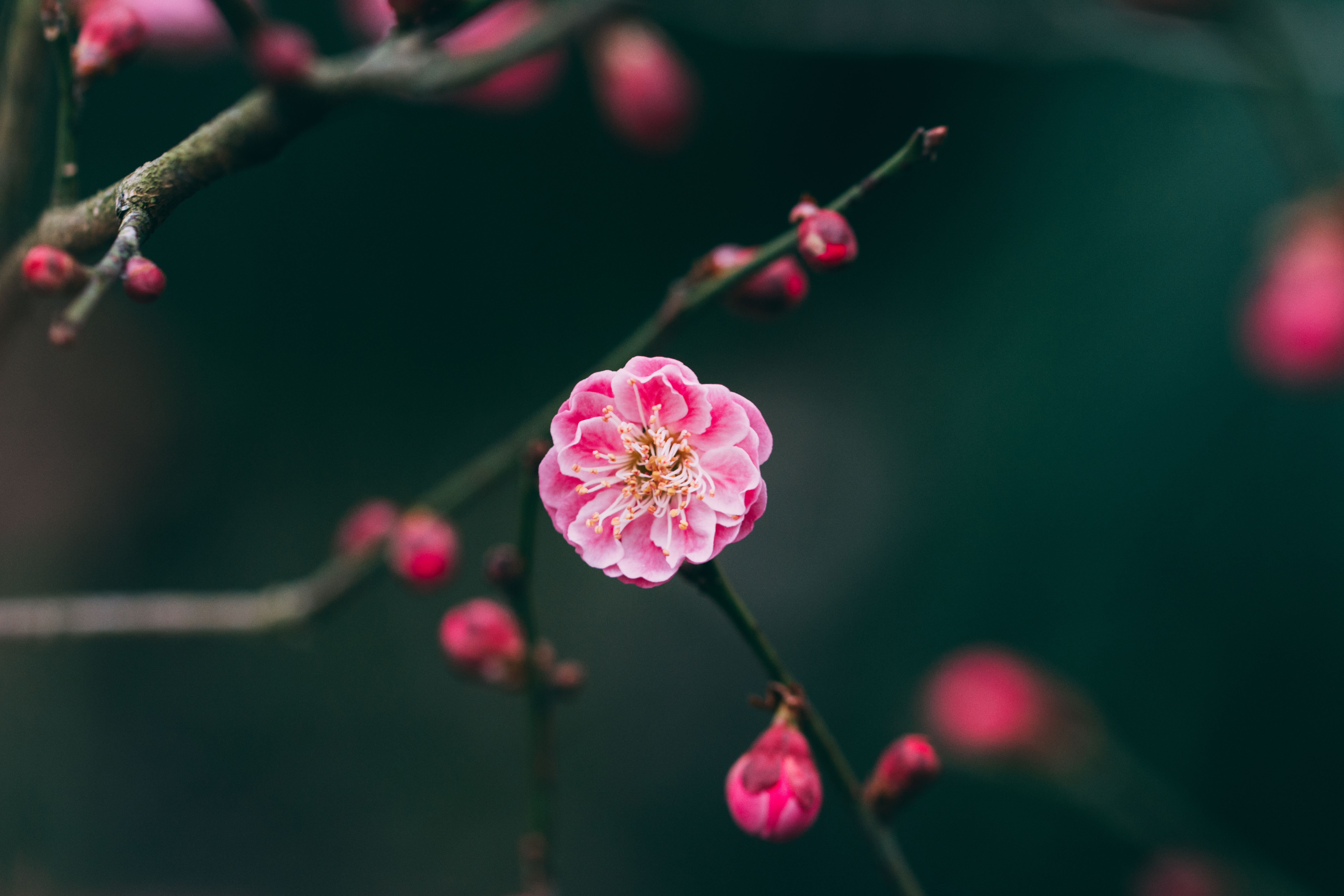 132756 download wallpaper Macro, Flower, Pink, Branches, Buds screensavers and pictures for free