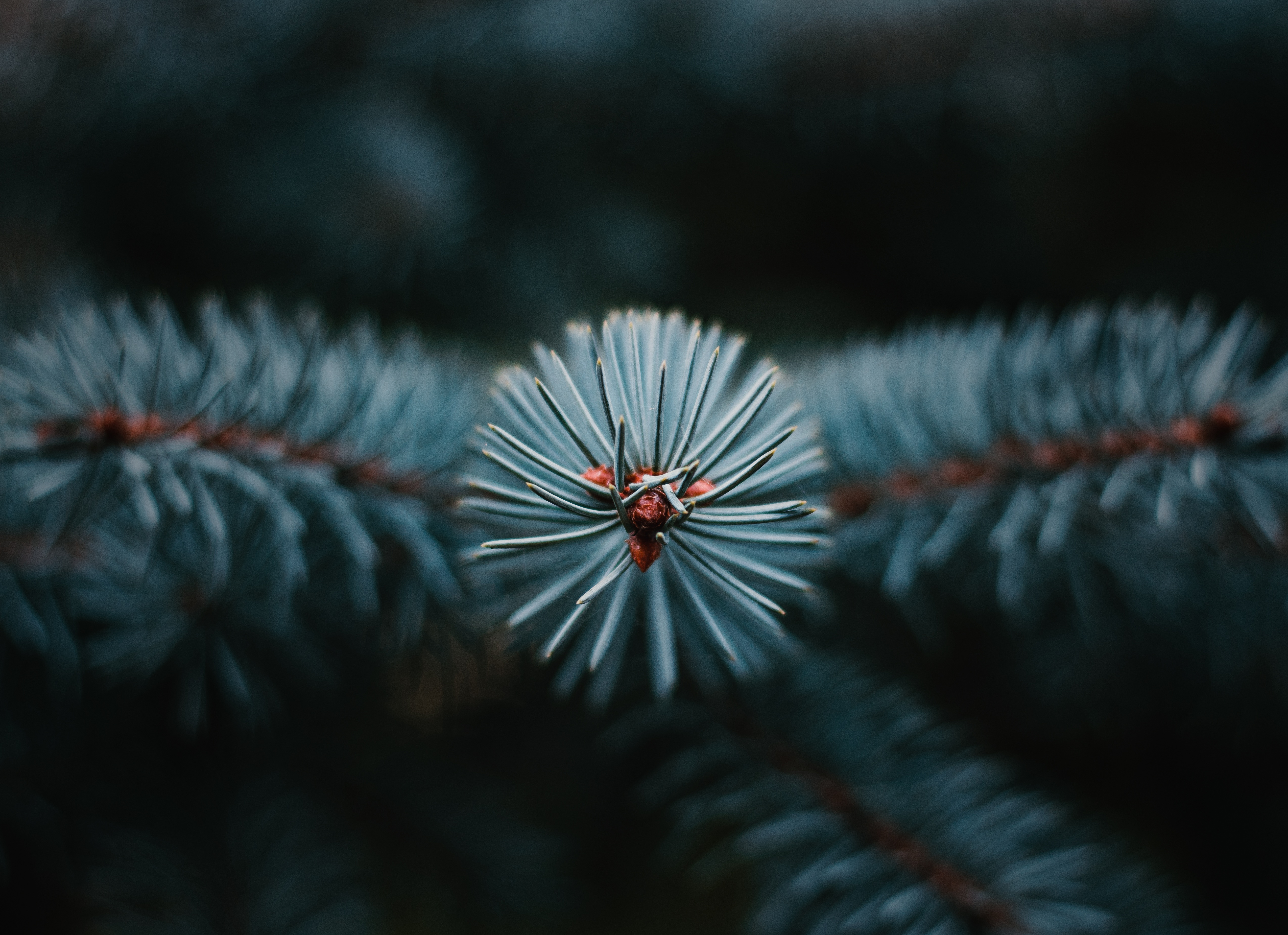 119739 Hintergrundbild herunterladen Nadeln, Makro, Ast, Zweig, Weihnachtsbaum, Immergrün, Immergrünen - Bildschirmschoner und Bilder kostenlos