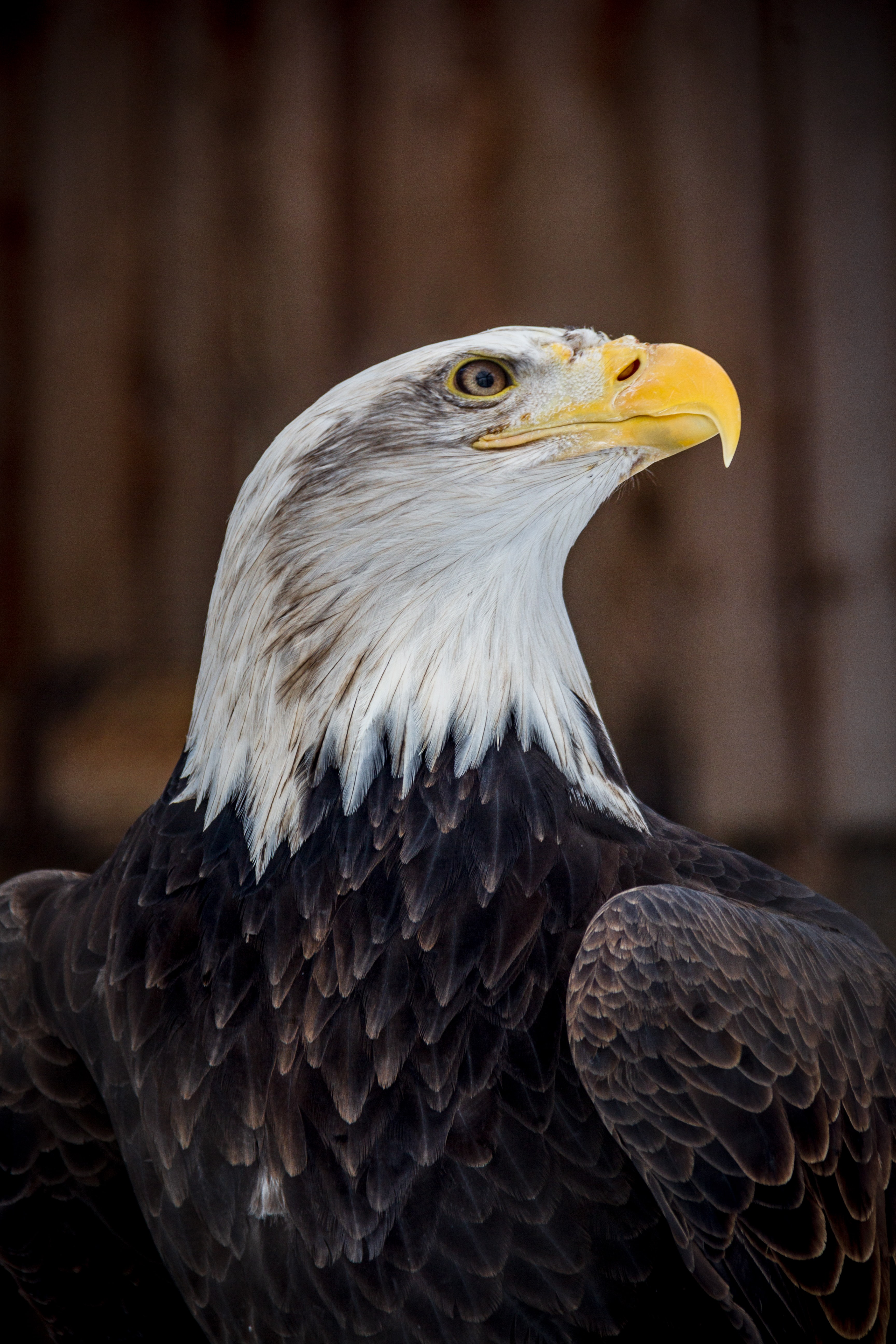 140519 download wallpaper Animals, Bald Eagle, White-Headed Eagle, Eagle, Bird, Predator, Brown screensavers and pictures for free