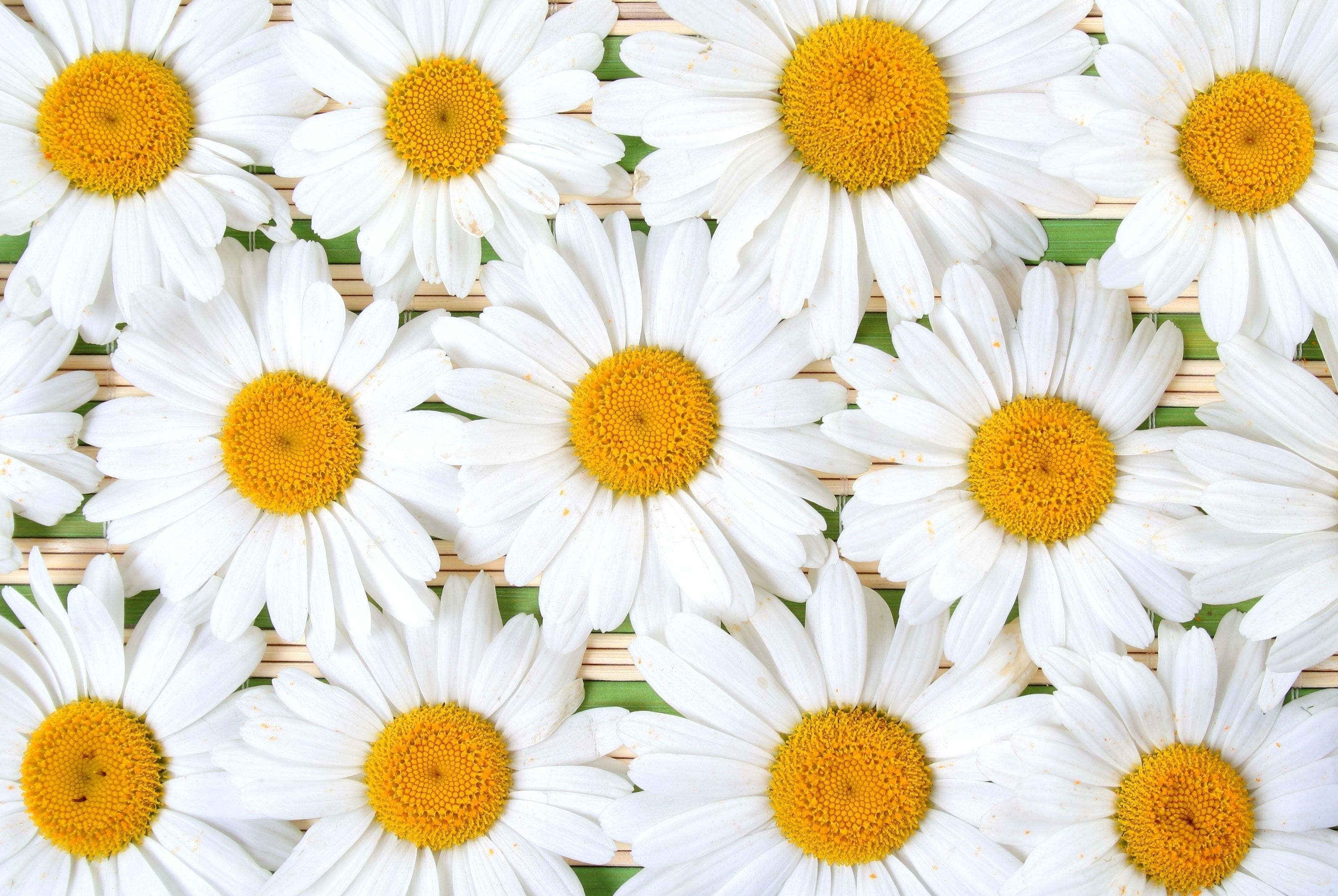 157874 скачать обои Ромашки, Цветы, Лепестки, Композиция, Белоснежные - заставки и картинки бесплатно