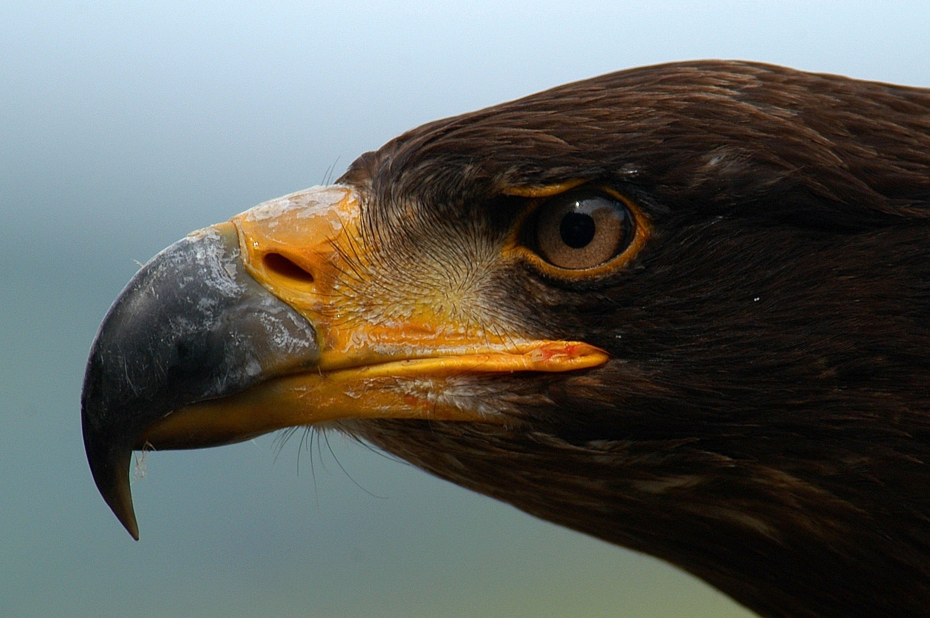 128535 download wallpaper Animals, Eagle, Beak, Predator, Eyes, Profile screensavers and pictures for free