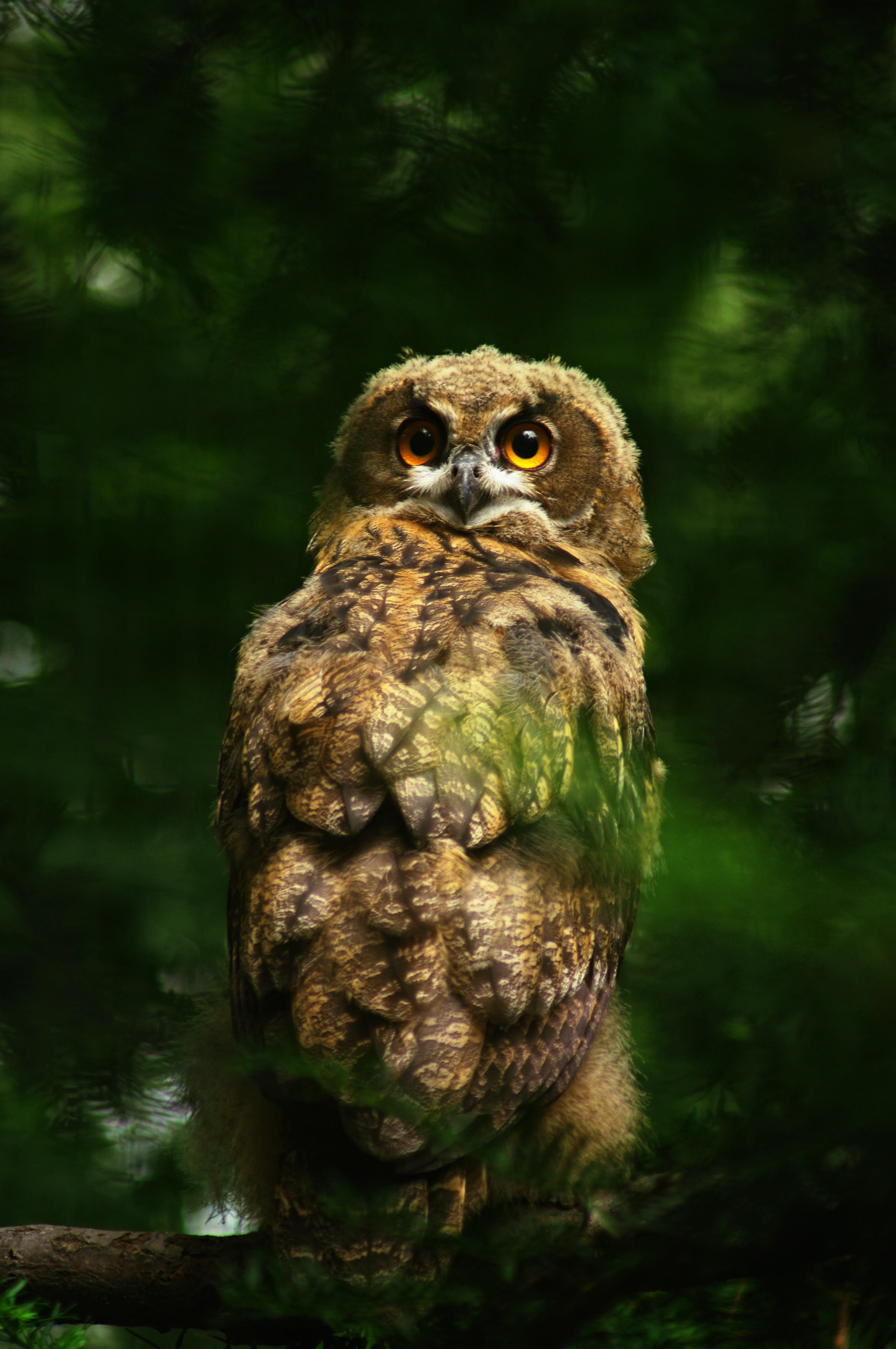 129183 download wallpaper Animals, Owl, Predator, Bird, Sight, Opinion, Feather screensavers and pictures for free