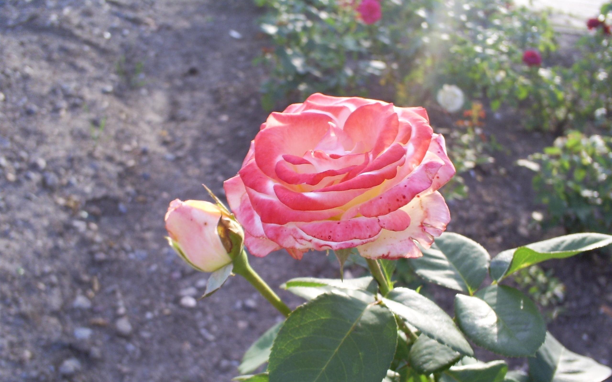 5780 скачать обои Растения, Цветы, Розы - заставки и картинки бесплатно