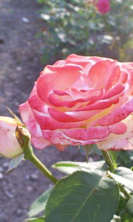 5780 télécharger le fond d'écran Plantes, Fleurs, Roses - économiseurs d'écran et images gratuitement