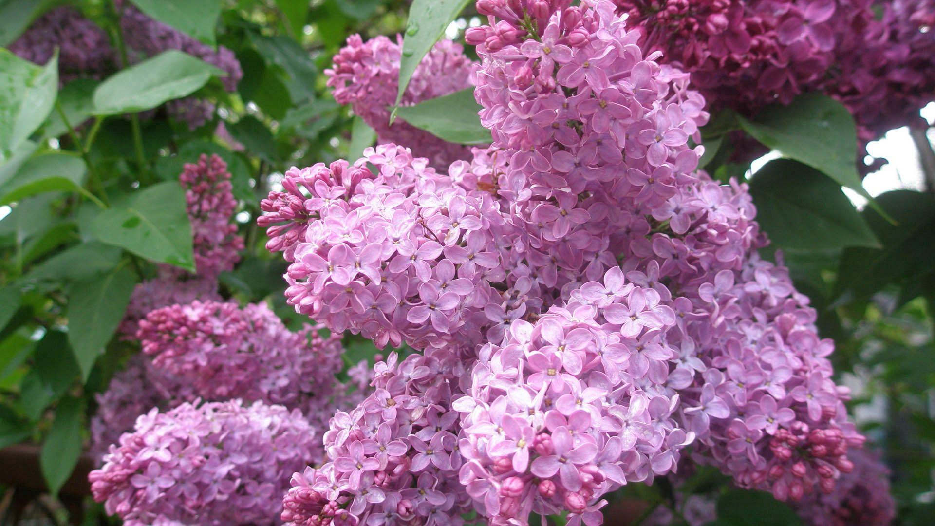 119136 Hintergrundbild herunterladen Blumen, Lilac, Pflanze, Knospe, Bud - Bildschirmschoner und Bilder kostenlos