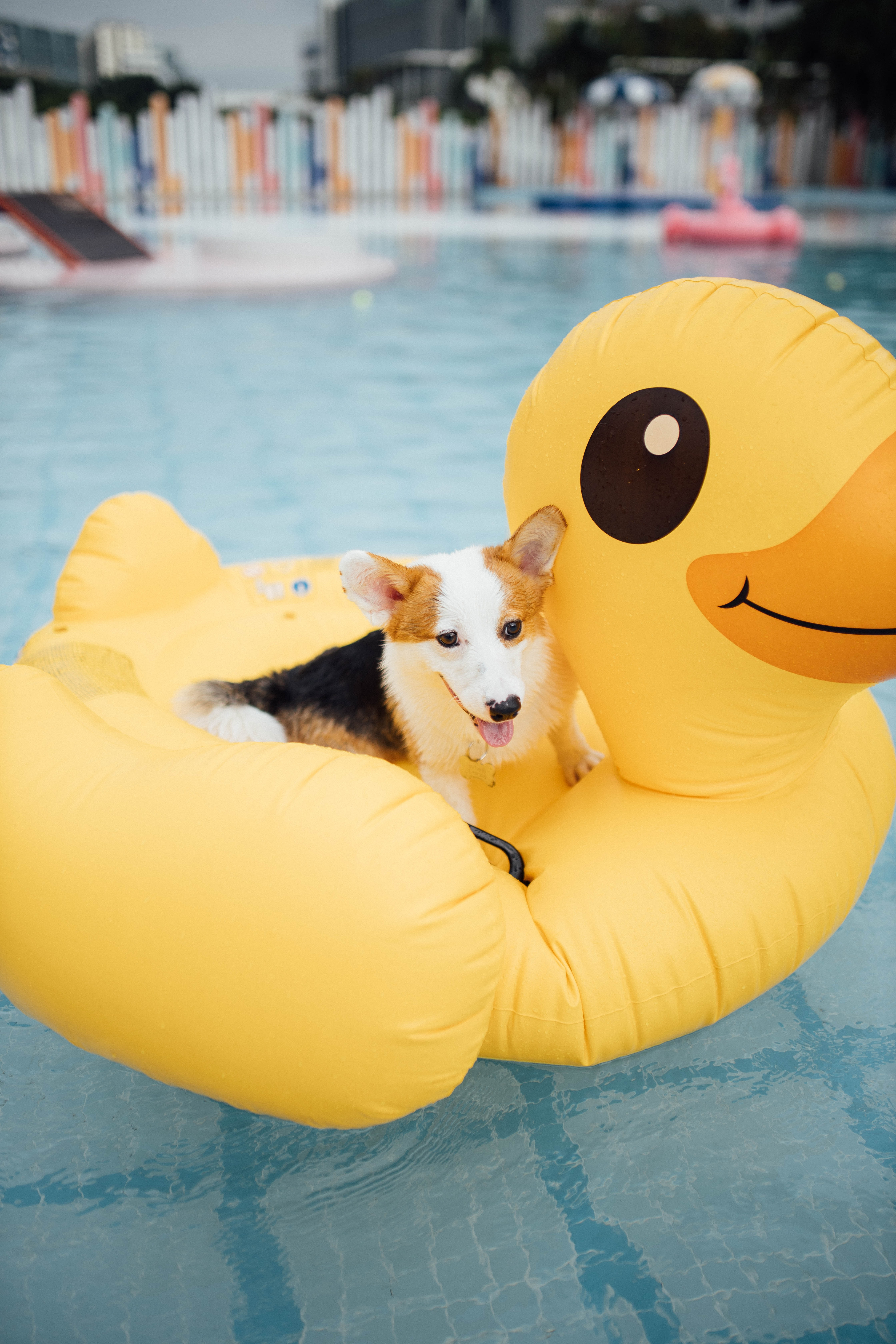 133961 download wallpaper Animals, Corgi, Dog, Pet, Inflatable Circle, Pool, Nice, Sweetheart screensavers and pictures for free