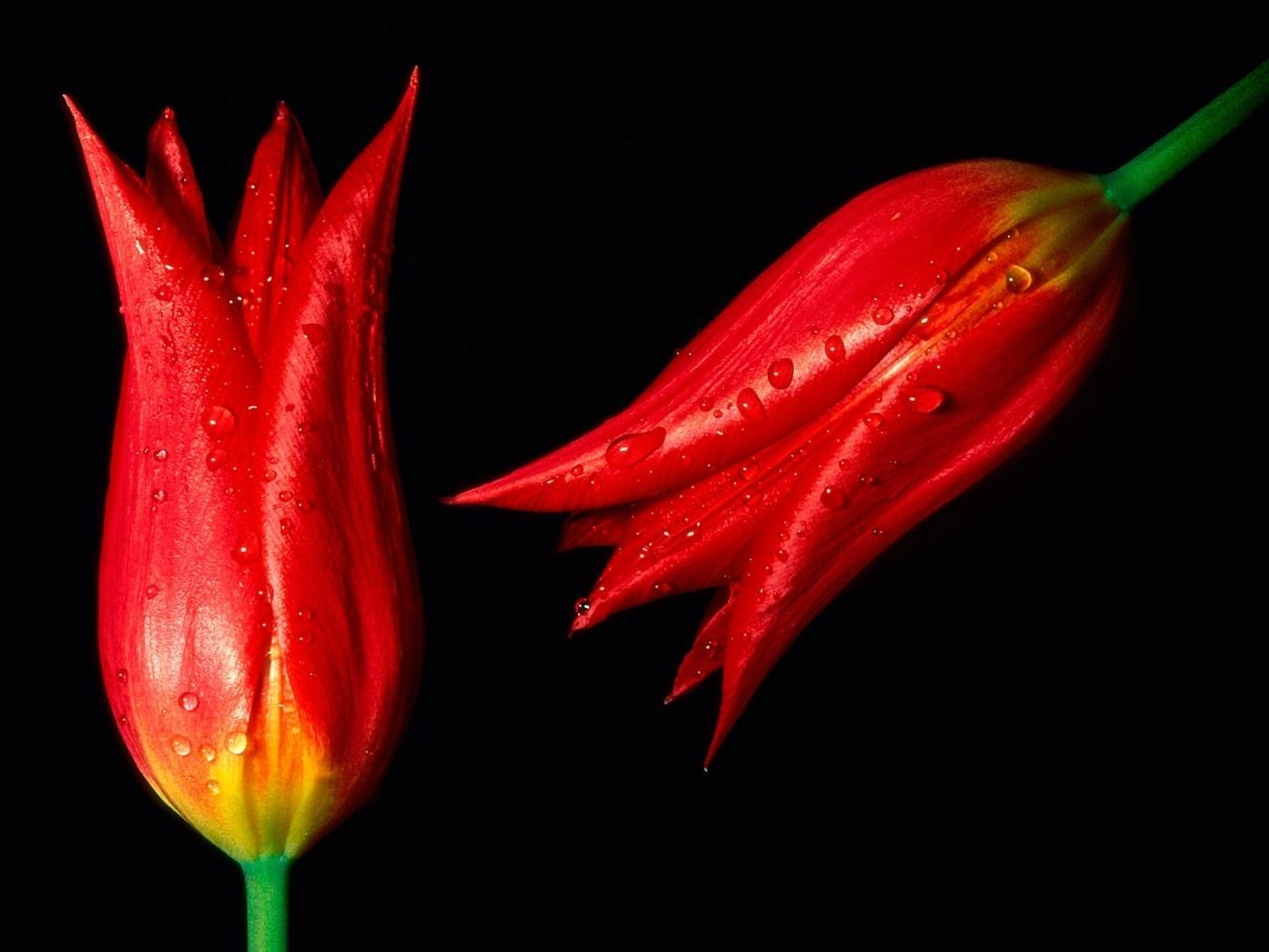 49555 скачать обои Растения, Цветы, Тюльпаны - заставки и картинки бесплатно