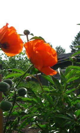 20922 скачать обои Растения, Цветы, Маки - заставки и картинки бесплатно