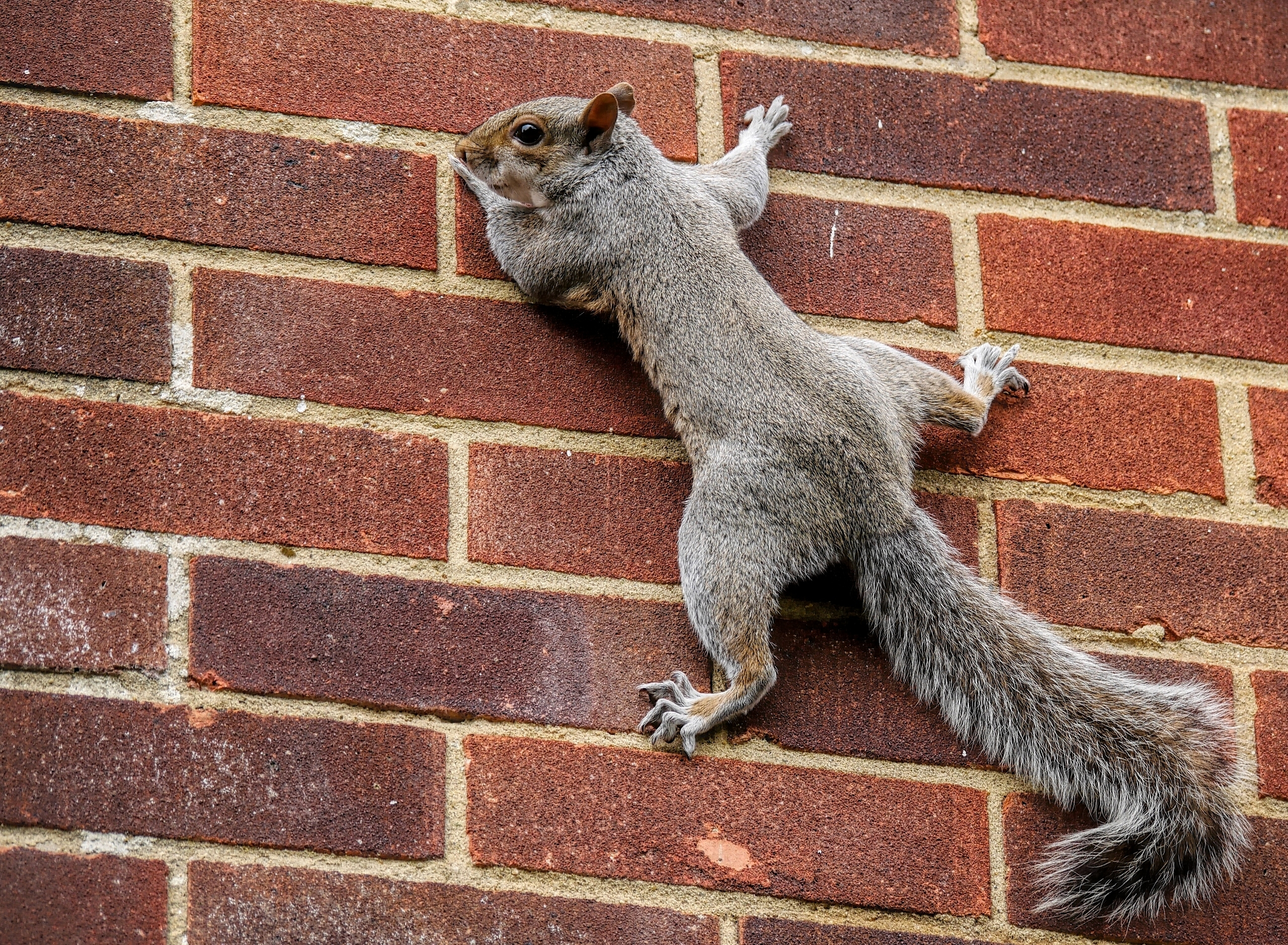 131818 download wallpaper Animals, Squirrel, Wall, Tail, Climb screensavers and pictures for free