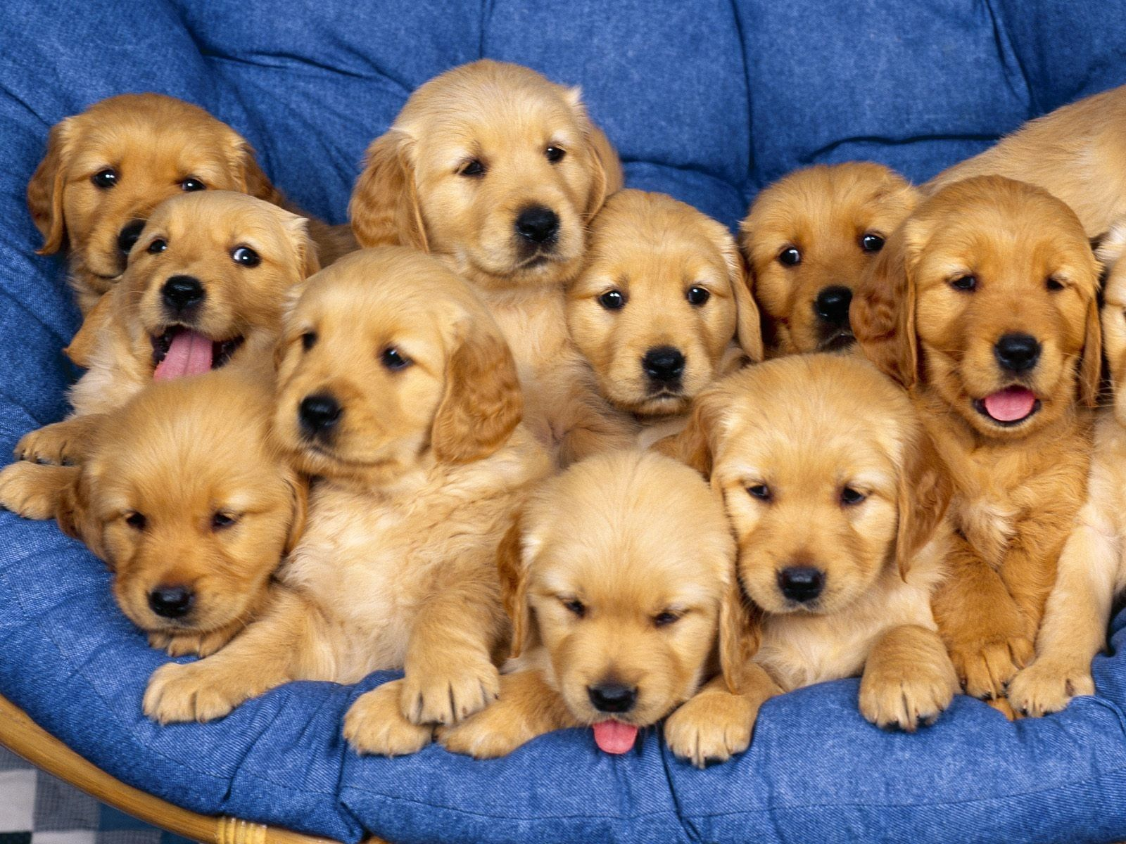 113215 download wallpaper Animals, To Lie Down, Lie, Puppies, Lots Of, Multitude screensavers and pictures for free