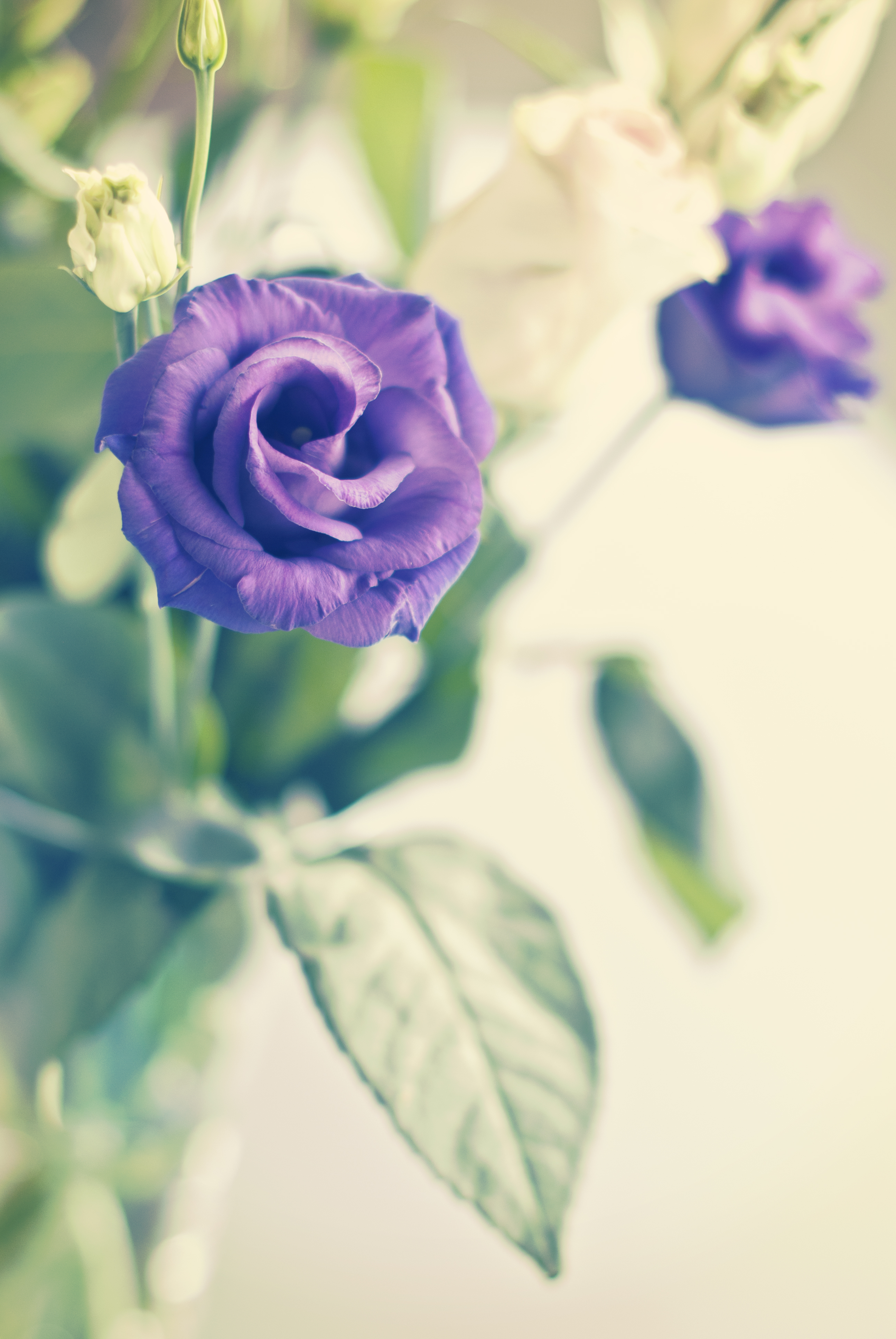 157695 Screensavers and Wallpapers Purple for phone. Download Flowers, Violet, Flower, Plant, Rose Flower, Rose, Bloom, Flowering, Purple, Decorative pictures for free