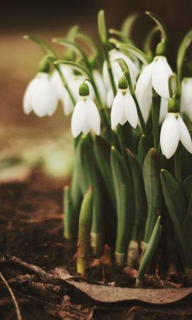 47080 скачать обои Растения, Цветы, Ландыши - заставки и картинки бесплатно