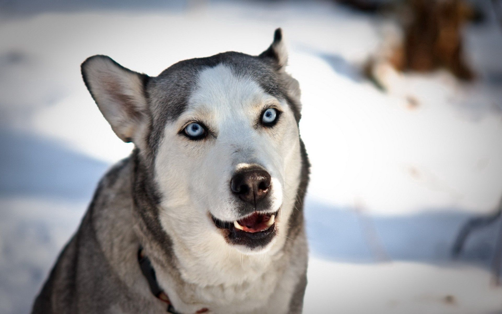76701 download wallpaper Animals, Dog, Husky, Haska, Muzzle, Blue Eyed, Blue-Eyed, Snow screensavers and pictures for free