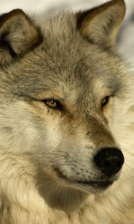 40787 baixar papel de parede Animais, Lobos - protetores de tela e imagens gratuitamente