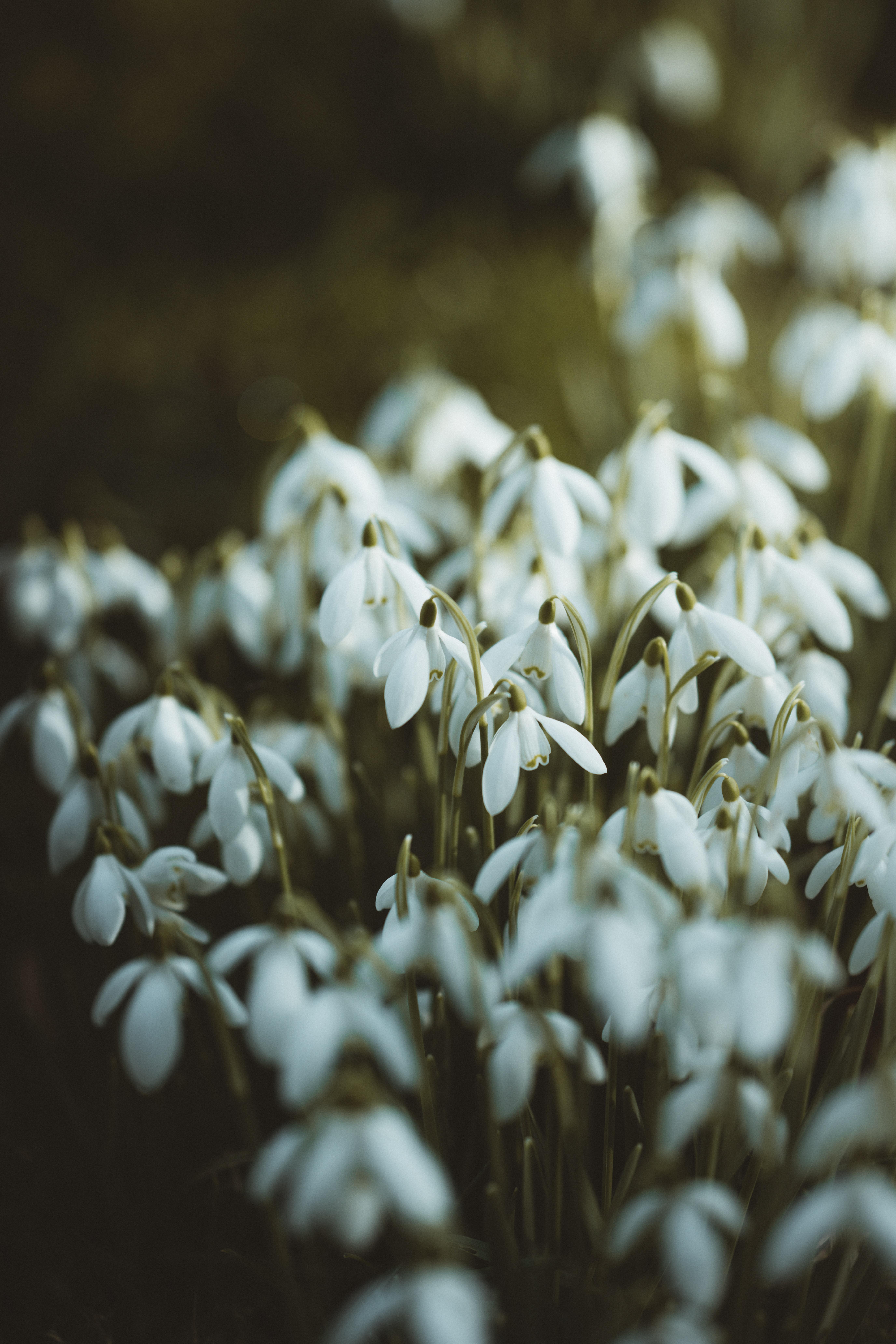 155441 Заставки и Обои Подснежники на телефон. Скачать Цветы, Подснежники, Белый, Весна картинки бесплатно