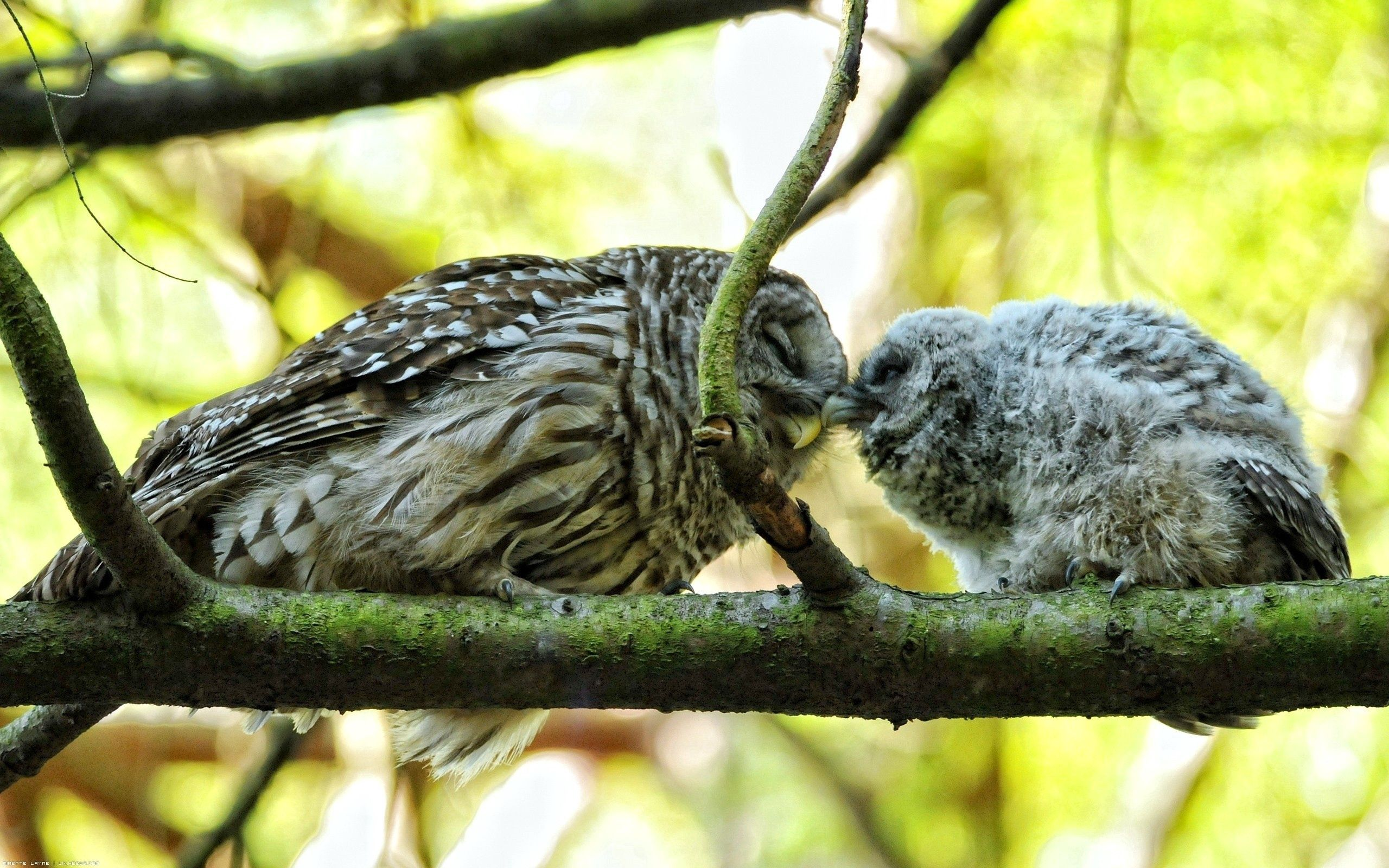 142667 download wallpaper Animals, Couple, Pair, Tenderness, Branches, Birds, Owl screensavers and pictures for free