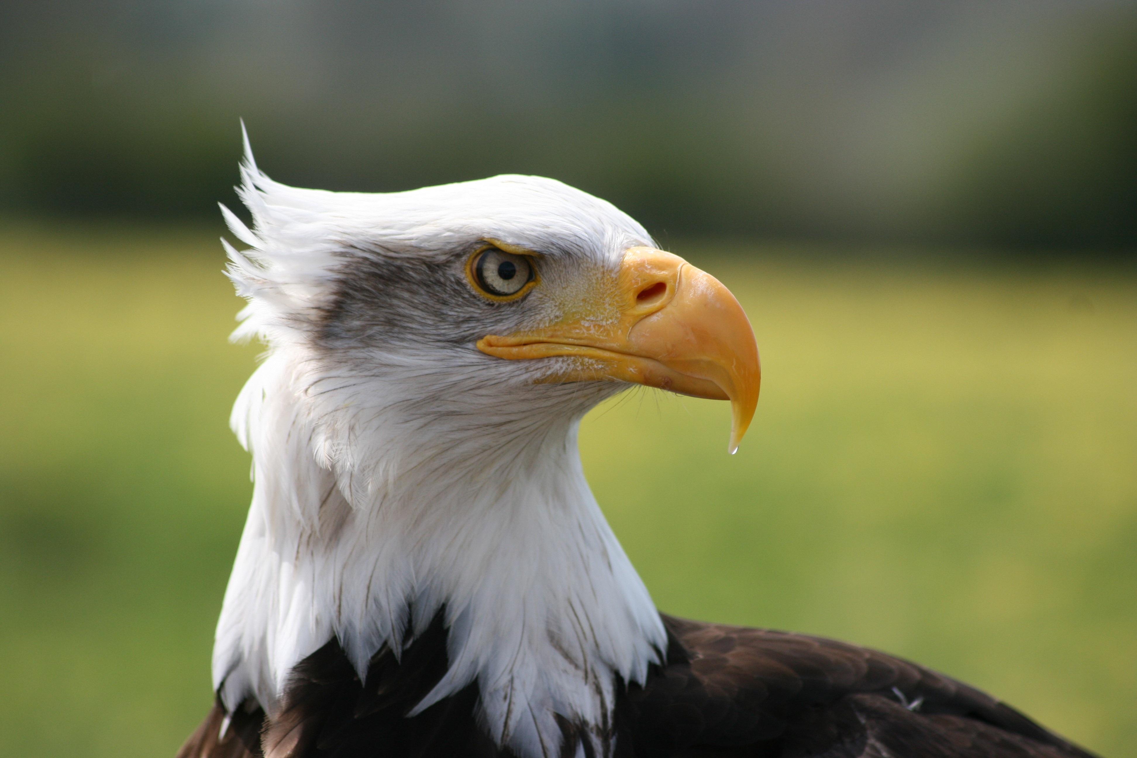 140382 descargar fondo de pantalla Animales, Águila, Pájaro, Depredador, Pico: protectores de pantalla e imágenes gratis