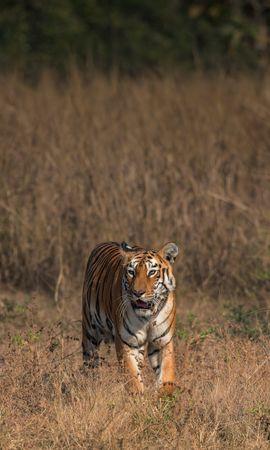 134253 скачать обои Животные, Тигр, Большая Кошка, Хищник, Дикая Природа, Саванна - заставки и картинки бесплатно