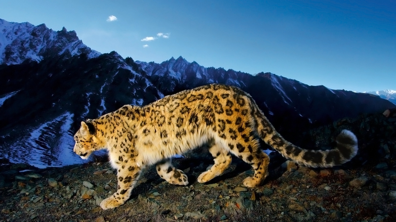 32176 download wallpaper Animals, Snow Leopard screensavers and pictures for free