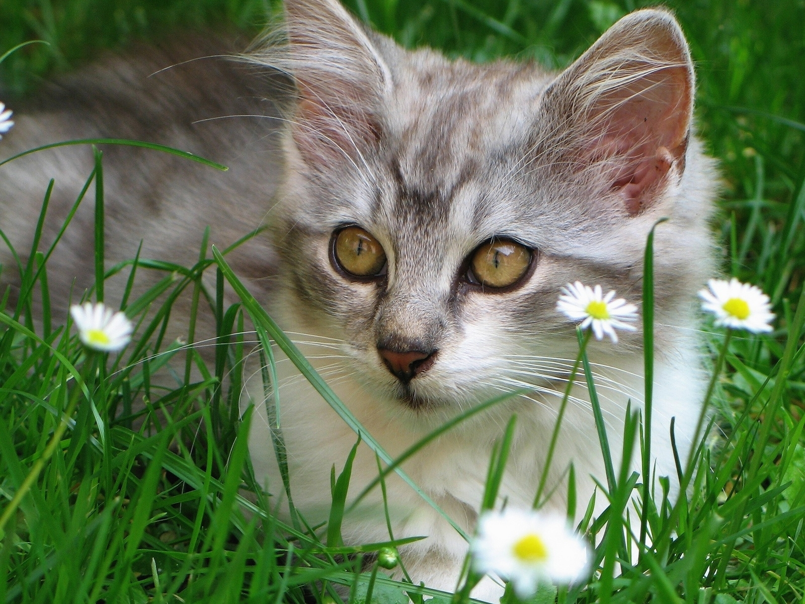 7717 download wallpaper Animals, Cats screensavers and pictures for free