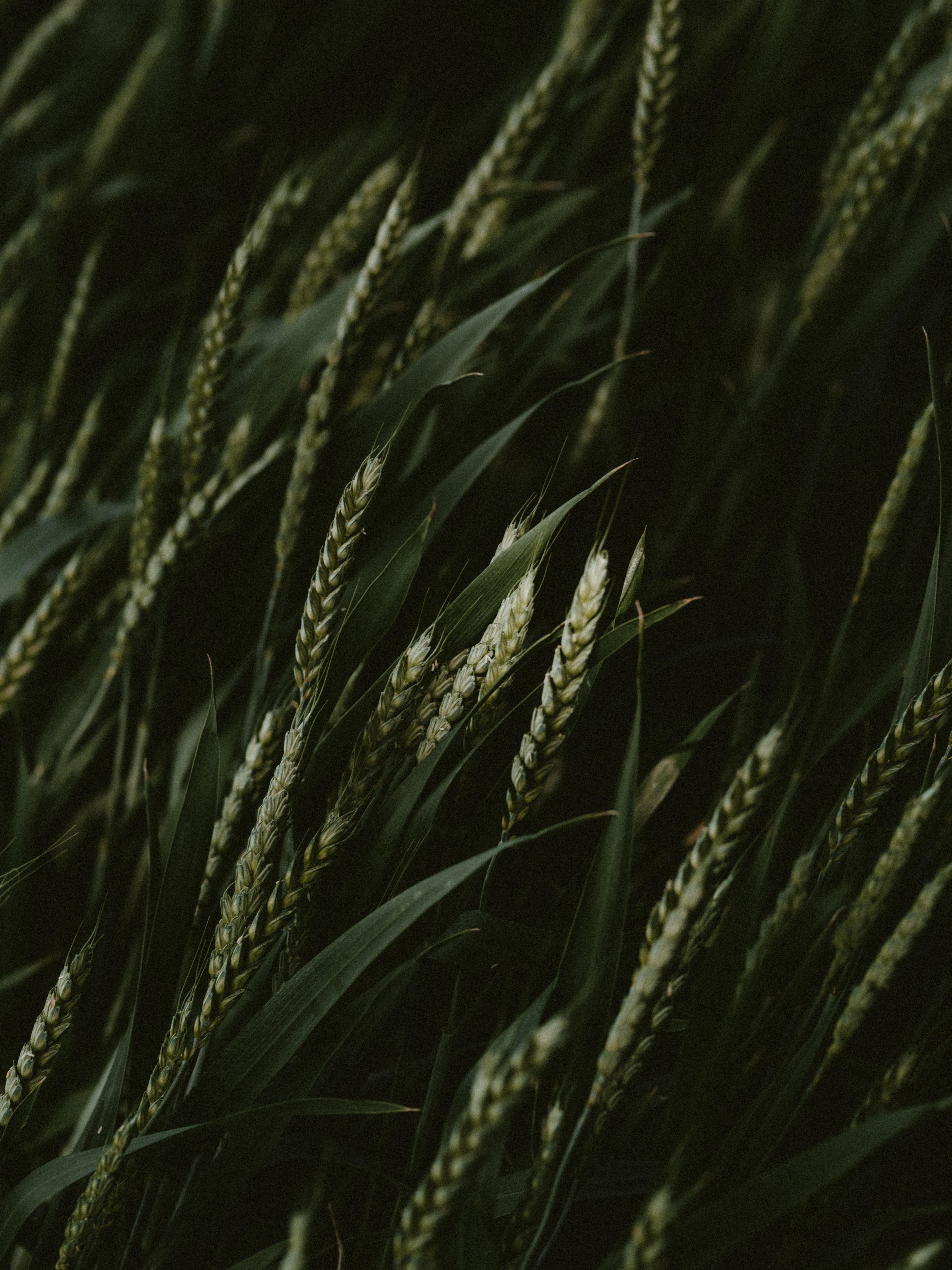 149351 скачать обои Макро, Колоски, Злаки, Зеленый, Темный, Растения, Пшеница - заставки и картинки бесплатно