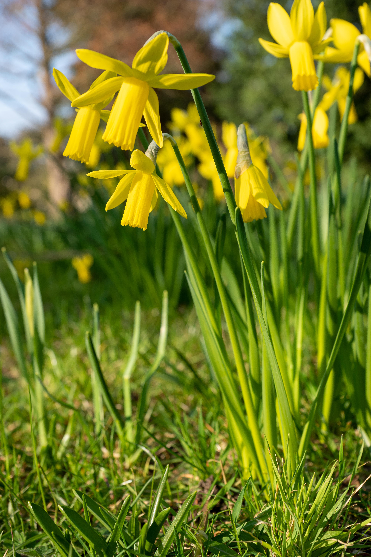 119383 Заставки и Обои Нарциссы на телефон. Скачать Цветы, Нарциссы, Растение, Желтый картинки бесплатно
