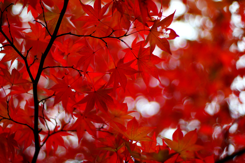 89432 скачать обои Листья, Природа, Красный, Блики, Ветки, Клен, Японский Клен - заставки и картинки бесплатно