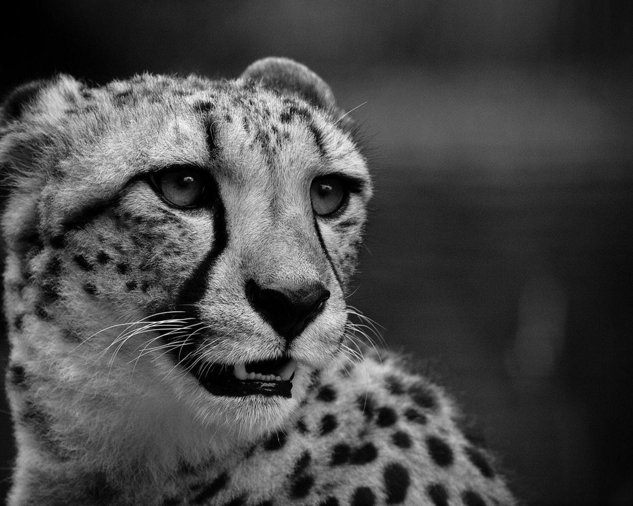 14631 download wallpaper Animals, Cheetah screensavers and pictures for free