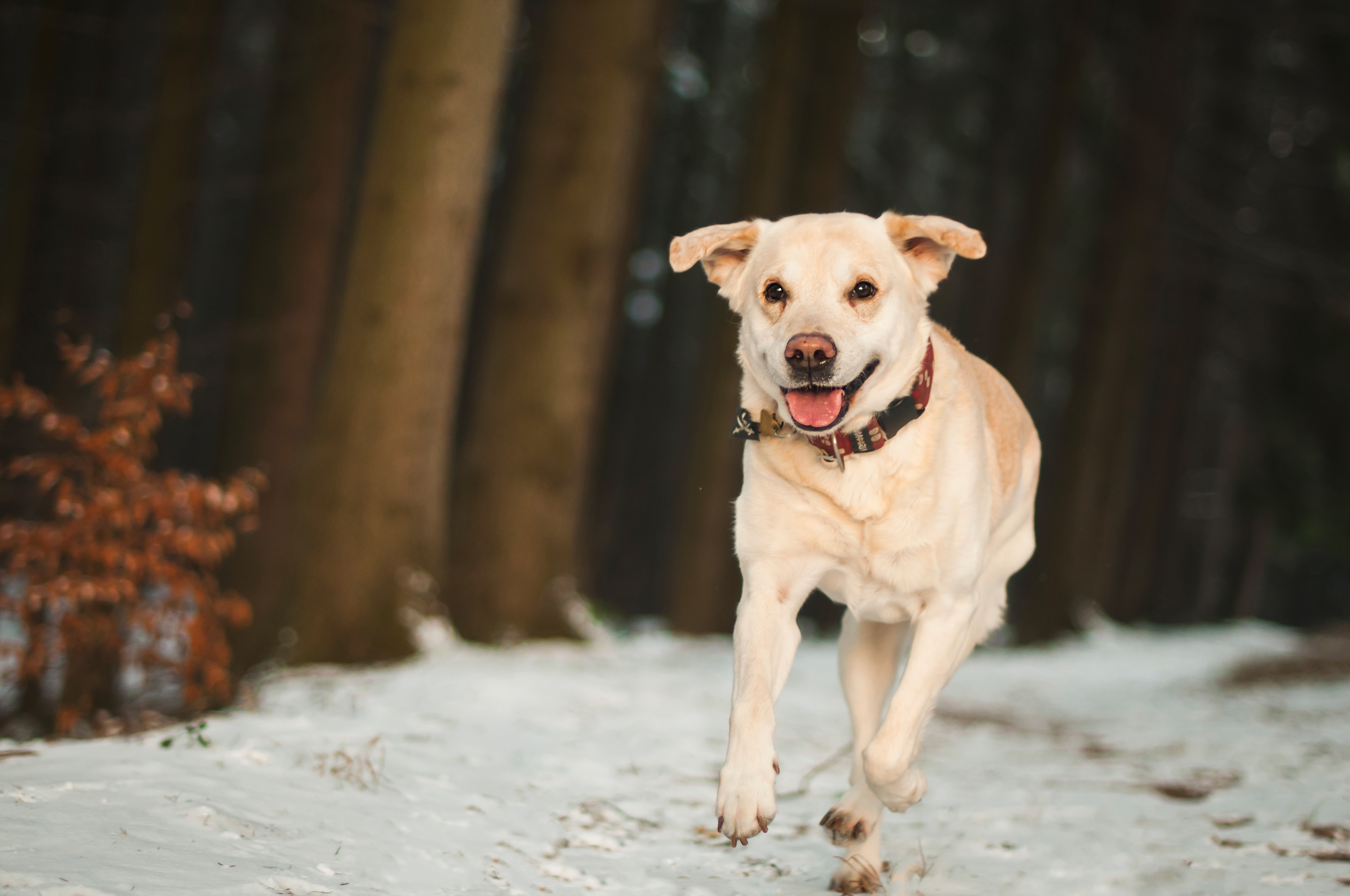 82520 download wallpaper Animals, Labrador, Dog, Snow, Run Away, Run screensavers and pictures for free