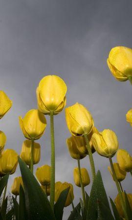 24682 скачать обои Растения, Цветы, Тюльпаны - заставки и картинки бесплатно