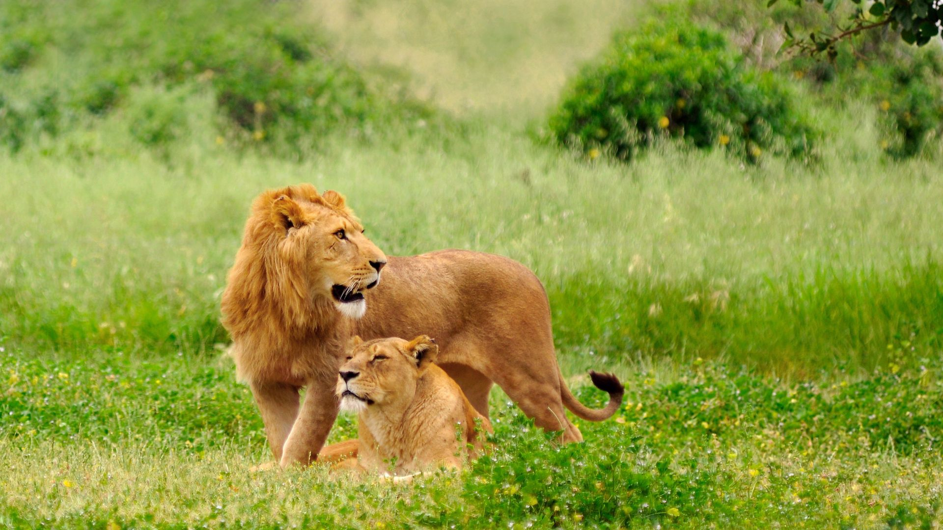 79184 download wallpaper Animals, Lion, Lioness, Couple, Pair, Grass, To Lie Down, Lie, Predators screensavers and pictures for free