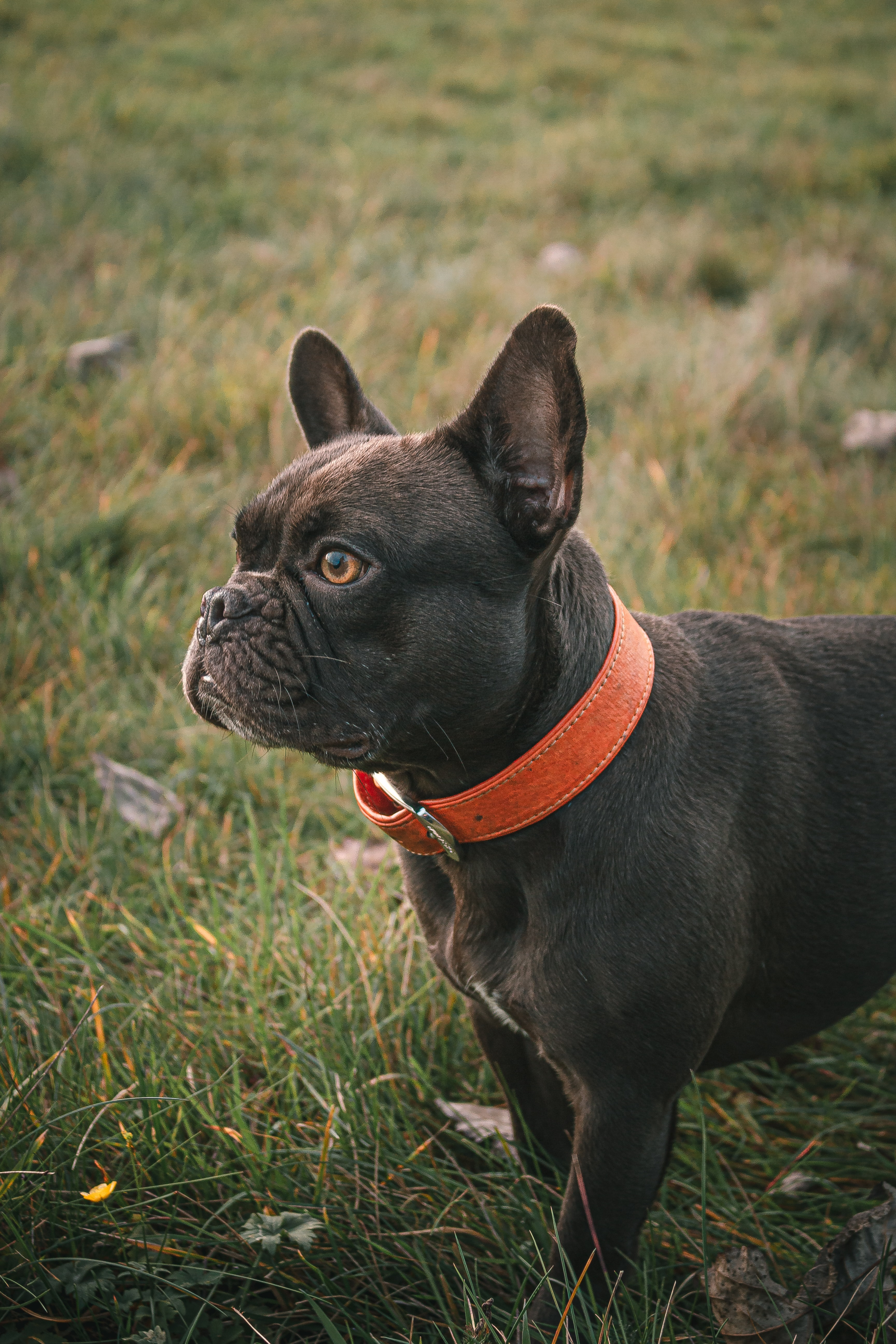 155102 Screensavers and Wallpapers Collar for phone. Download Animals, Dog, Pet, Collar, French Bulldog pictures for free