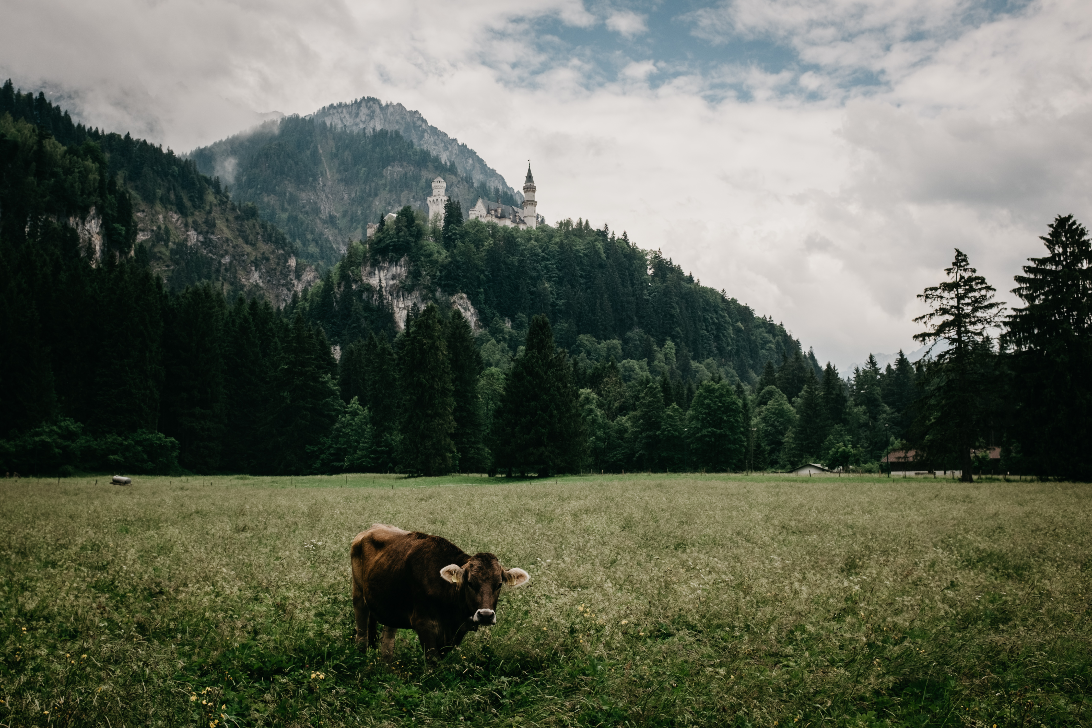 Download mobile wallpaper Bull, Meadow, Bavaria, Grass, Animals, Mountains, Lock for free.