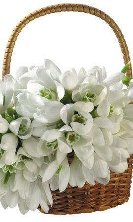 2628 скачать обои Растения, Цветы, Подснежники - заставки и картинки бесплатно