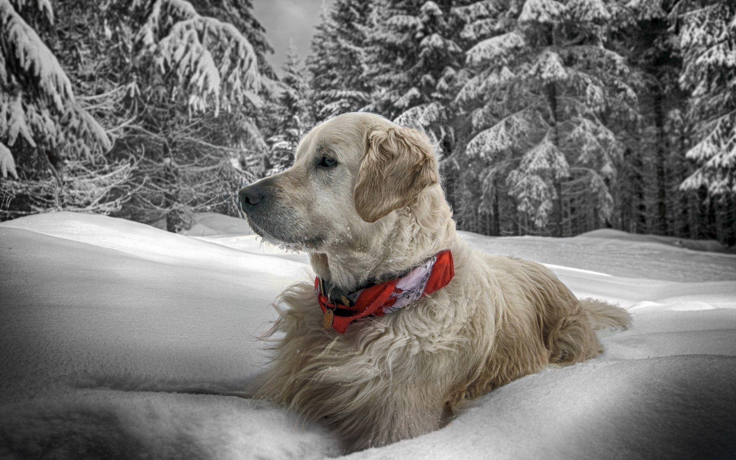 81426 Screensavers and Wallpapers Sit for phone. Download Animals, Snow, Sit, Forest, Dog, Collar pictures for free