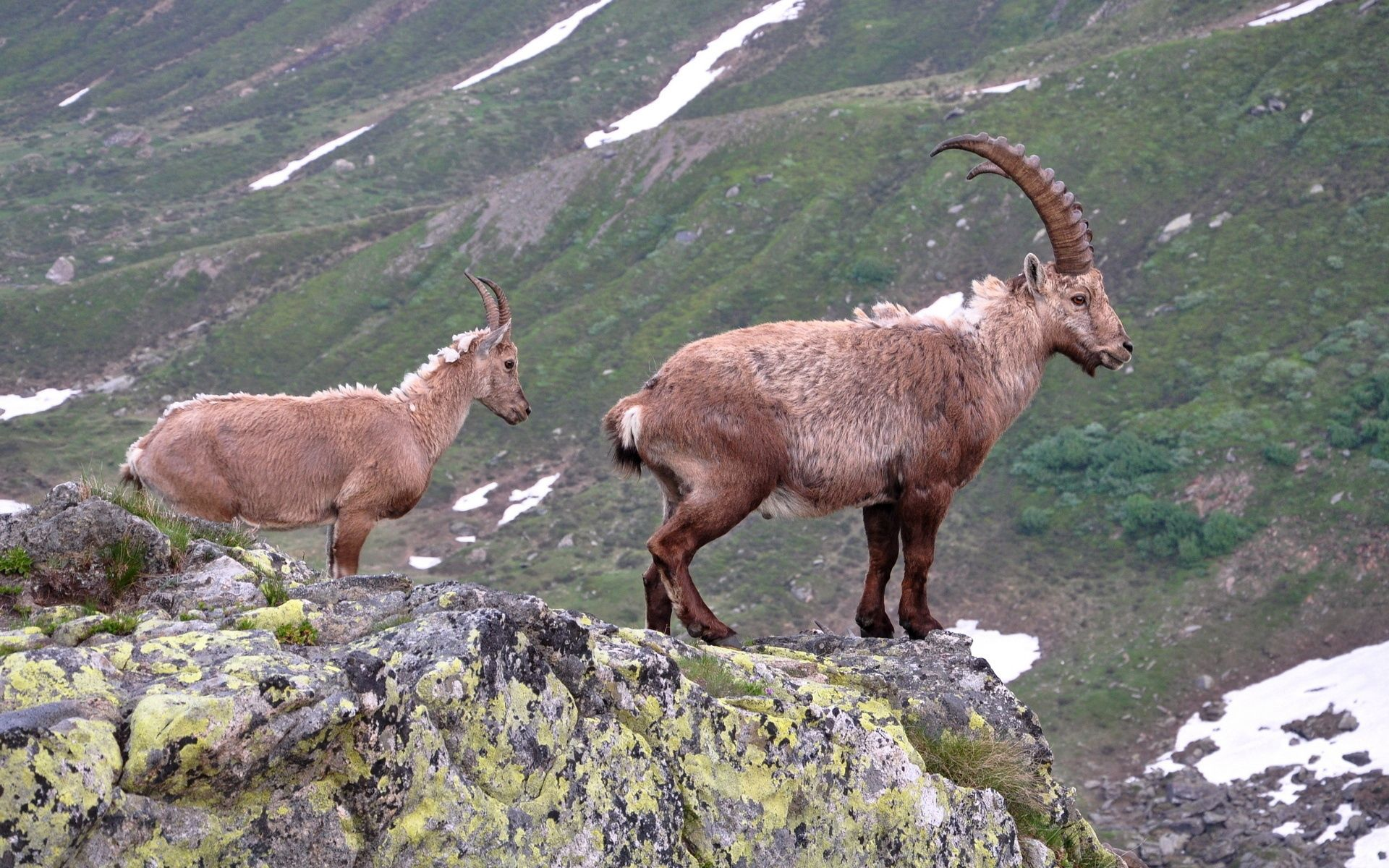 81880 download wallpaper Animals, Mountain Goat, Rock, Horns screensavers and pictures for free