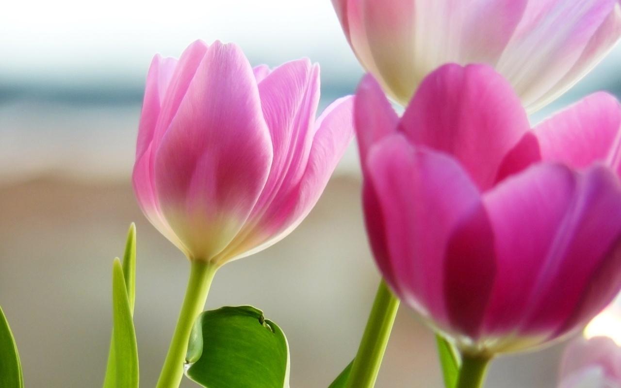 11569 скачать обои Растения, Цветы, Тюльпаны - заставки и картинки бесплатно