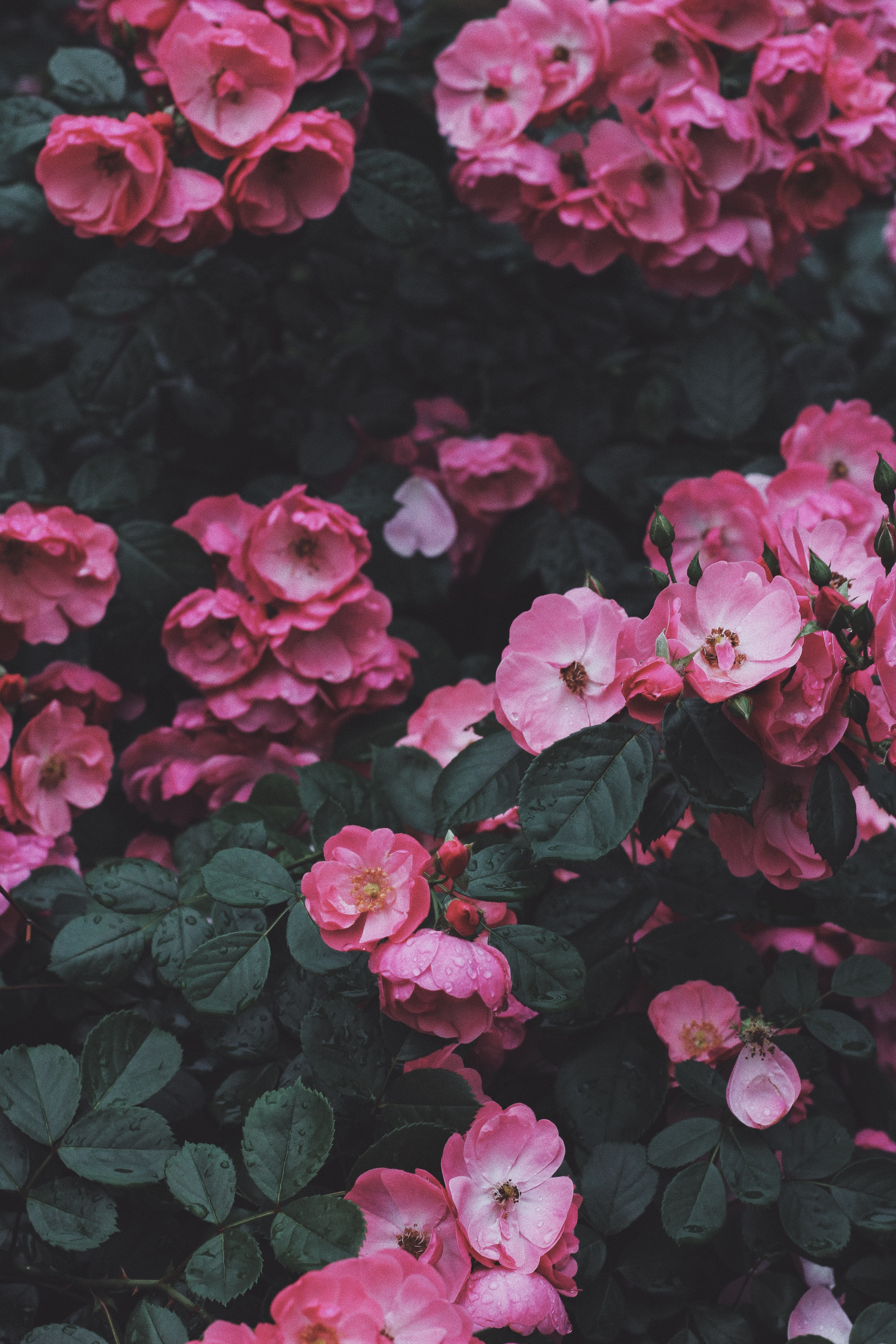 89049 download wallpaper Flowers, Pink, Bush, Bloom, Flowering, Wild Rose screensavers and pictures for free