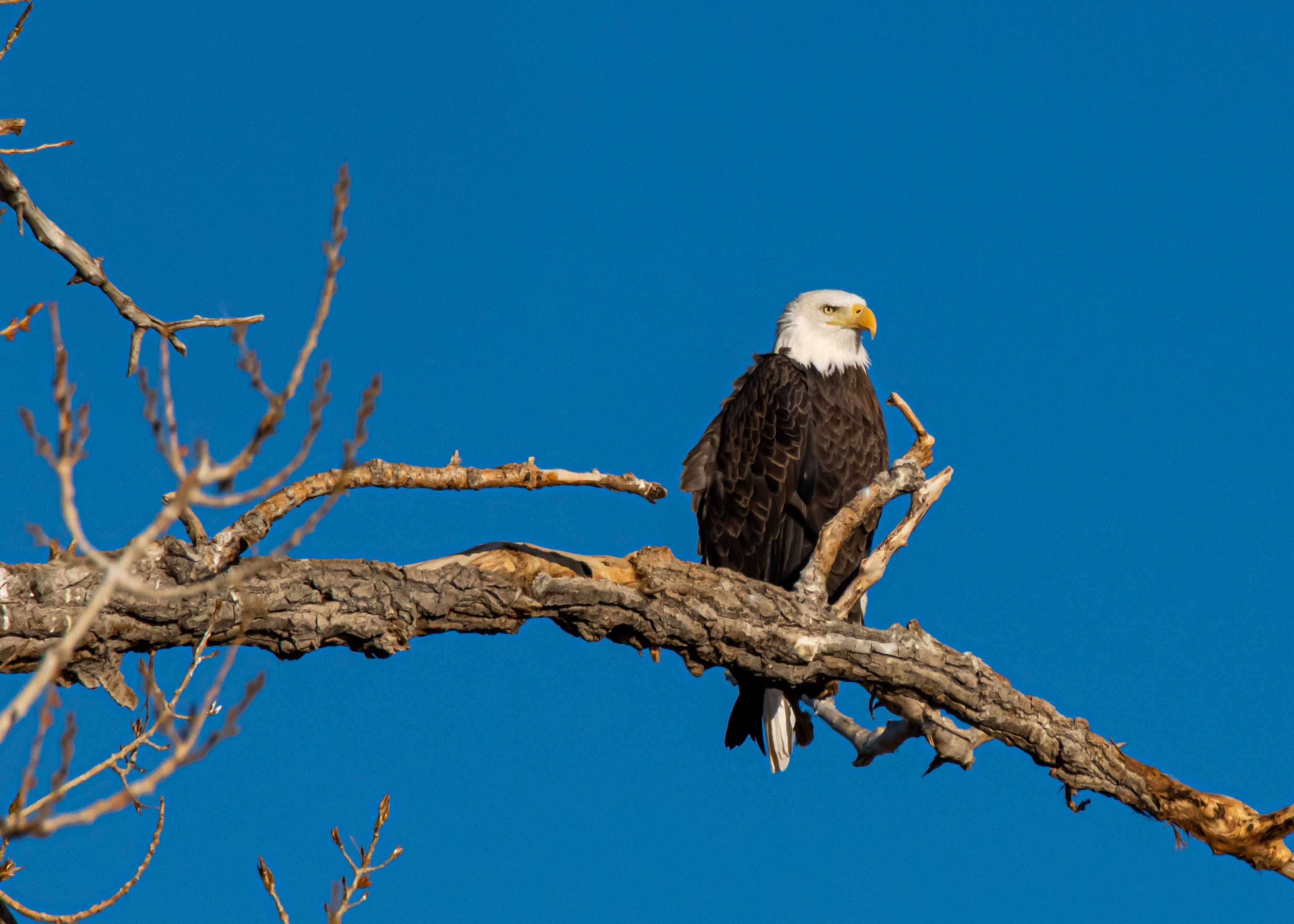 117353 download wallpaper Animals, Bald Eagle, White-Headed Eagle, Bird, Branch, Predator, Wildlife screensavers and pictures for free