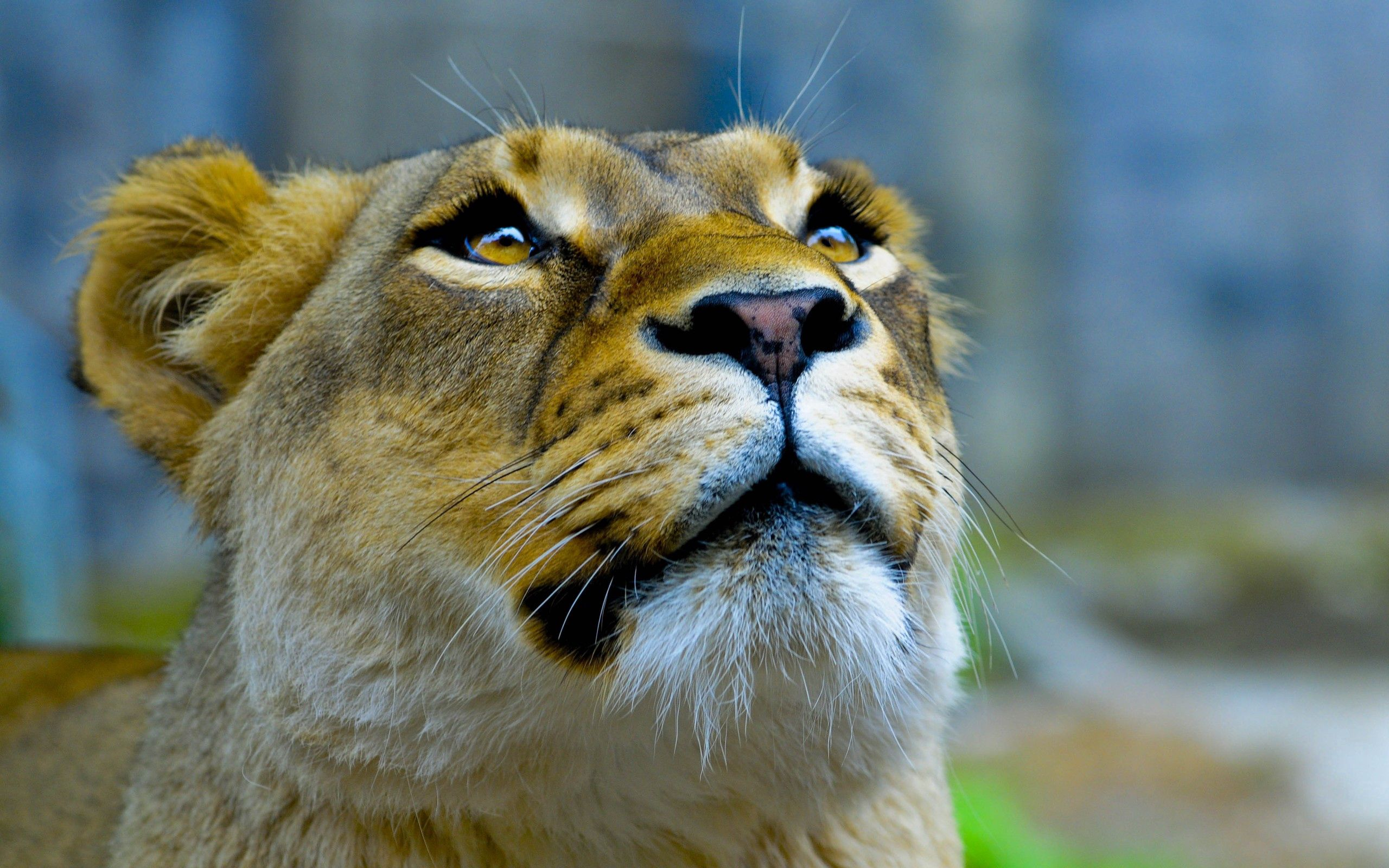 Download mobile wallpaper Animals, Up, Top, Muzzle, Sight, Opinion, Lioness for free.