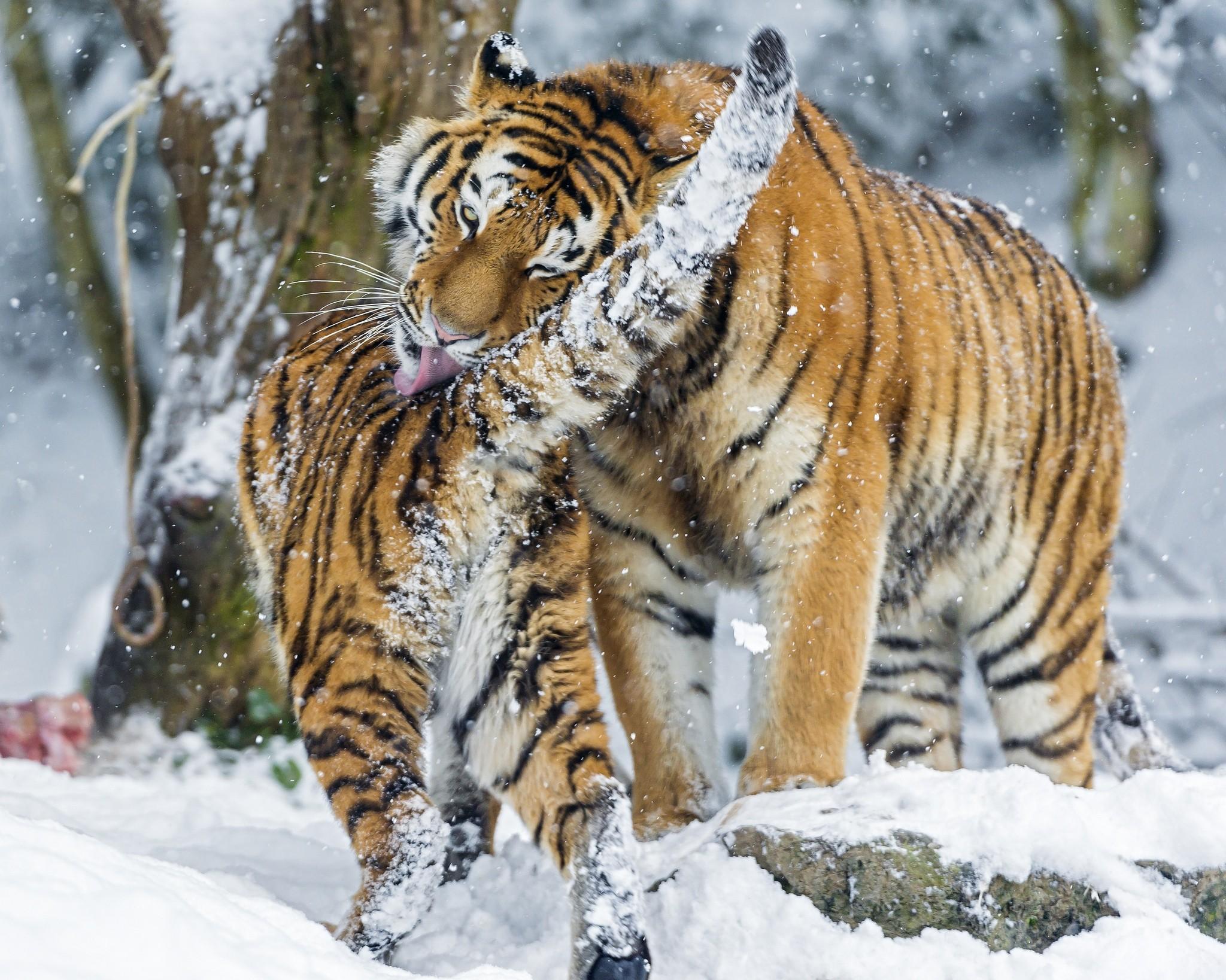 112458 Hintergrundbild herunterladen Tiere, Schnee, Junge, Große Katze, Big Cat, Joey, Raubtiere, Amur-Tiger - Bildschirmschoner und Bilder kostenlos